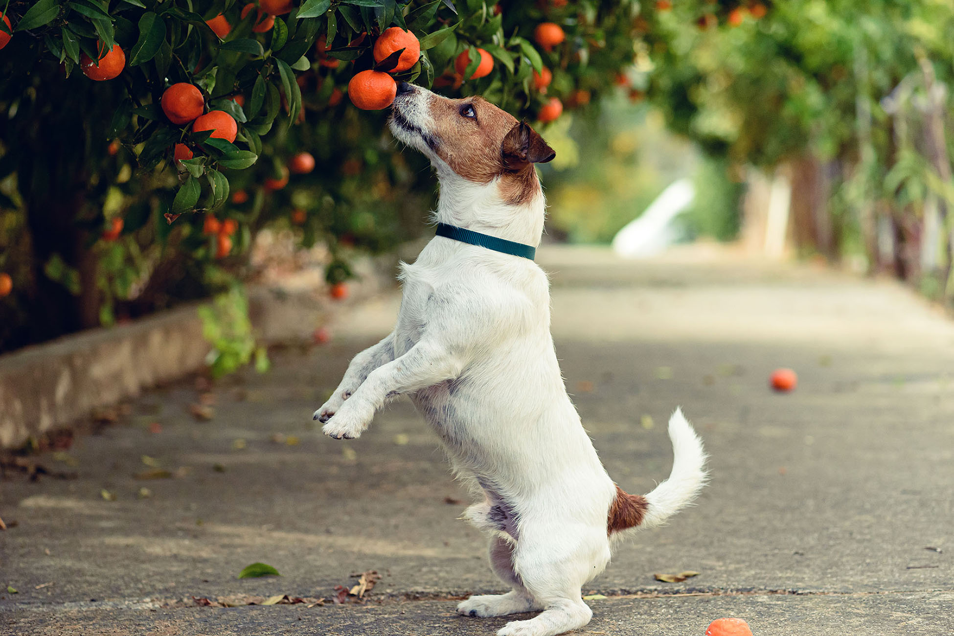 dog taking oranges off tree