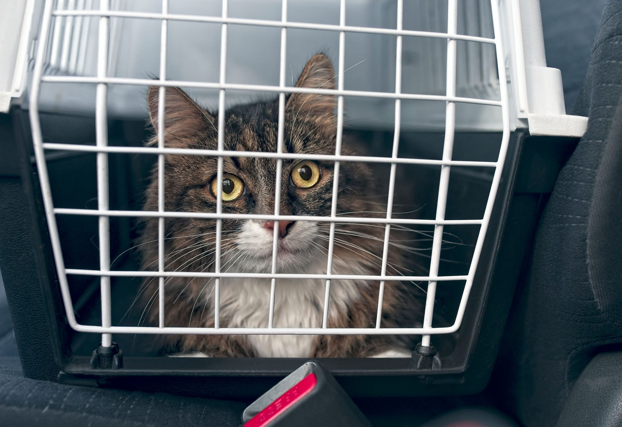 cat in carrier in car