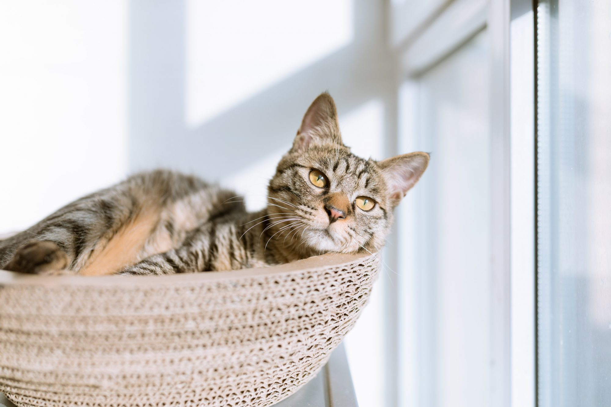 tabby cat in perch looking out window