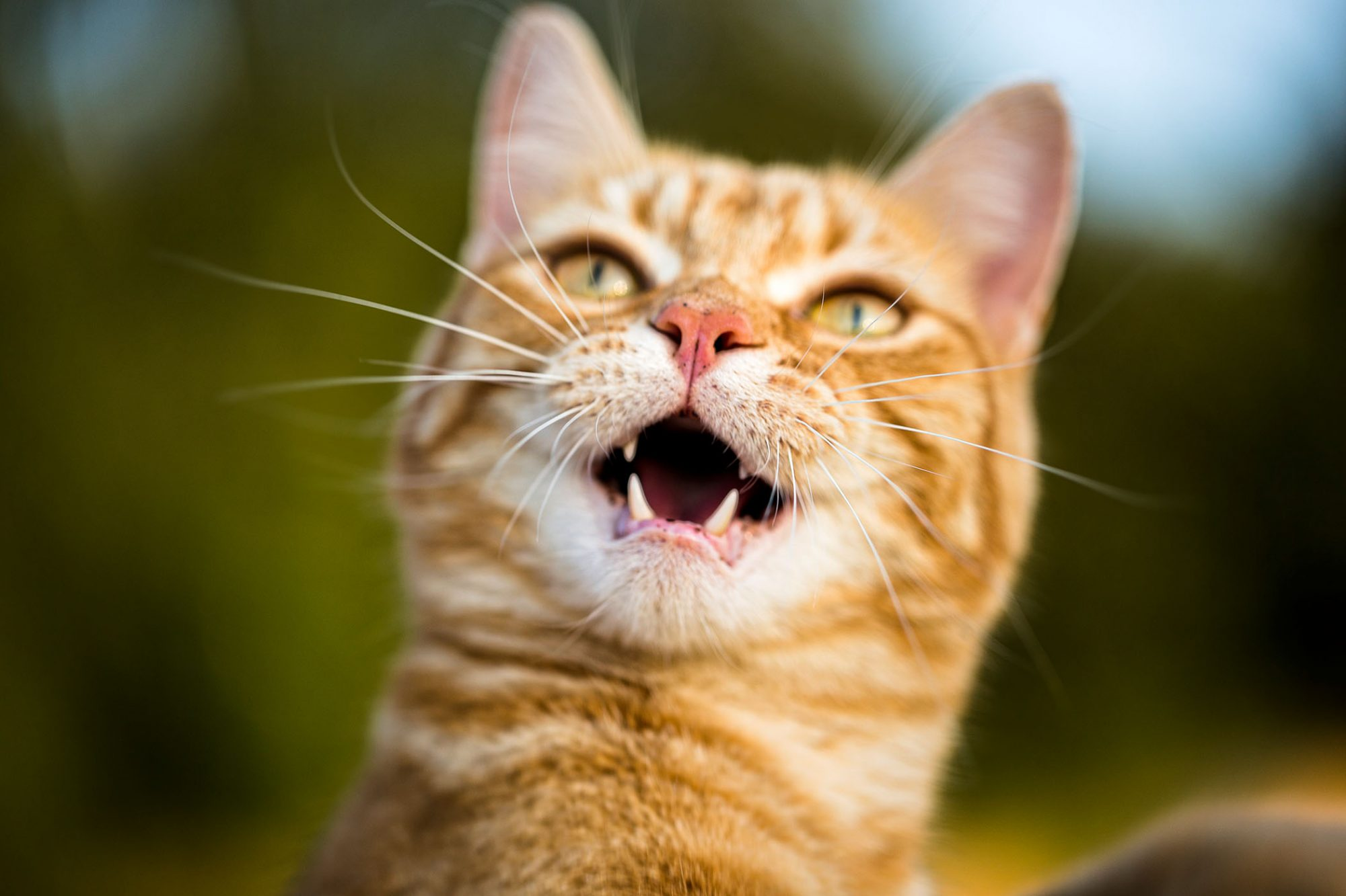 orange cat with sharp teeth