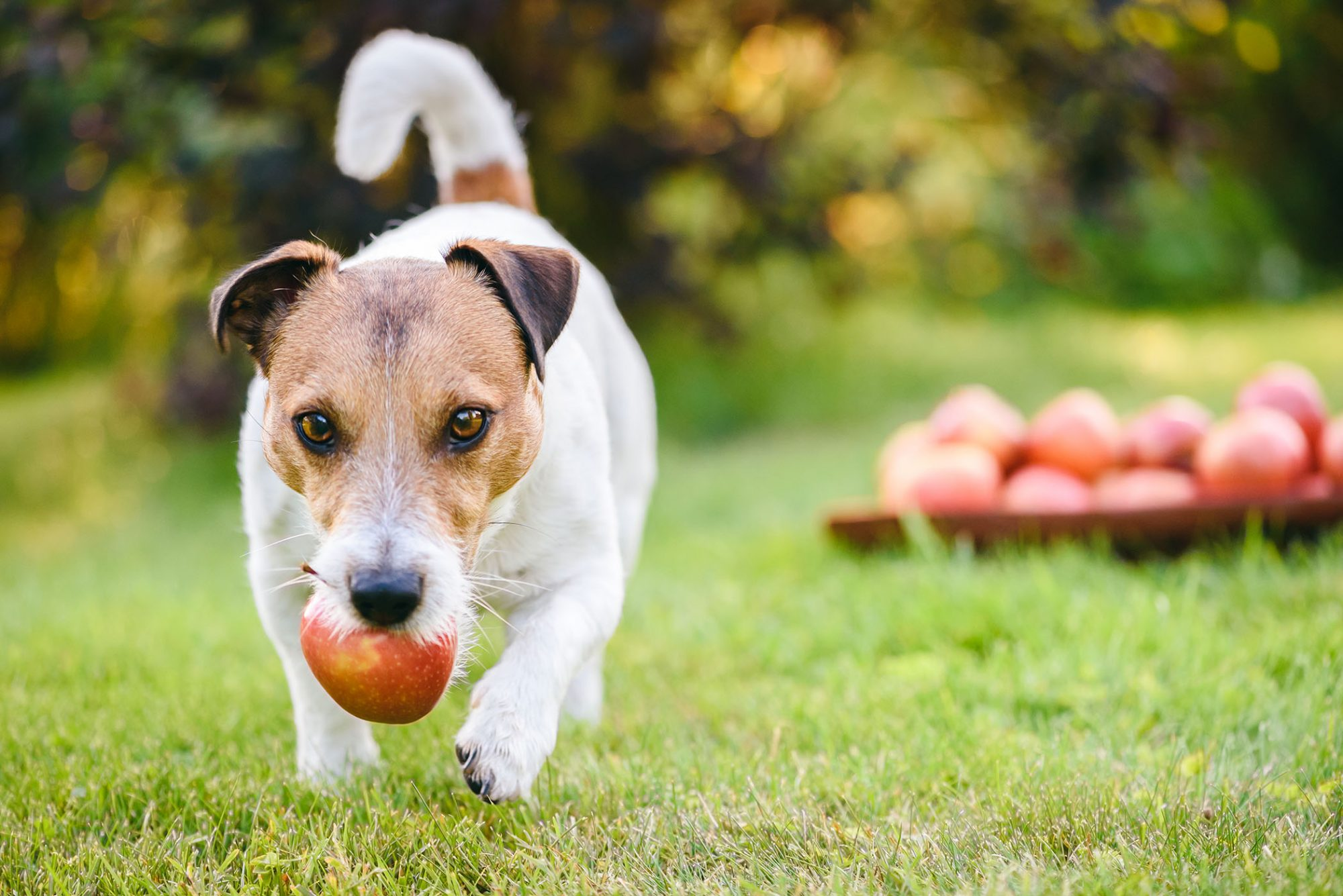 jack russell terrier with apple