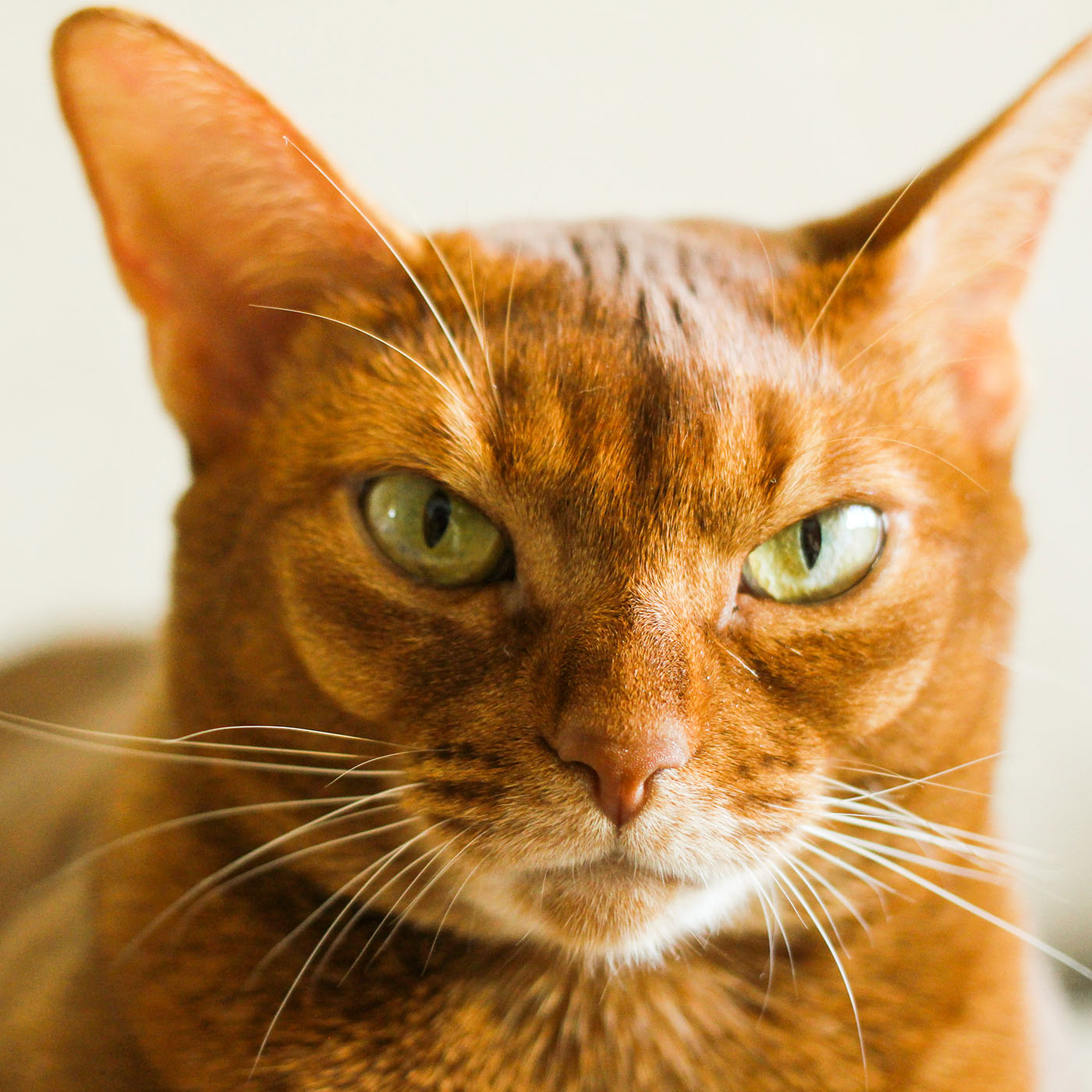 orange Abyssinian cat close up