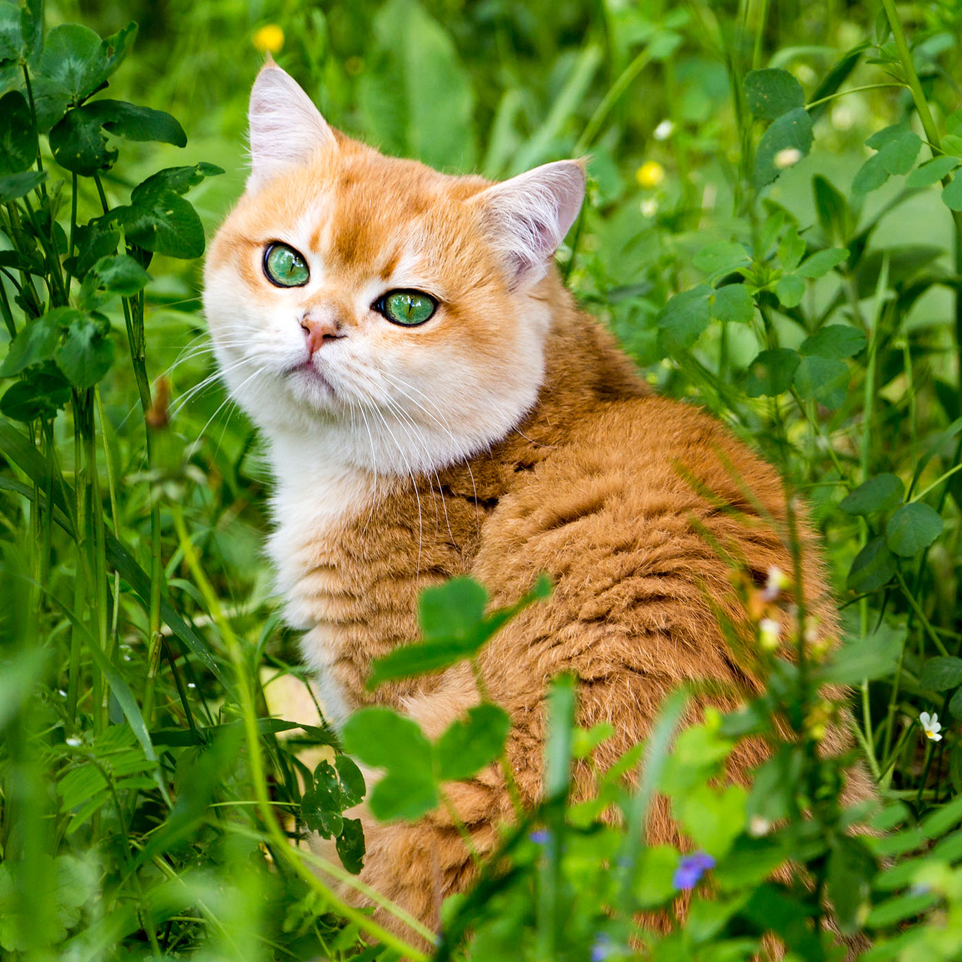 orange british shorthair with green eyes