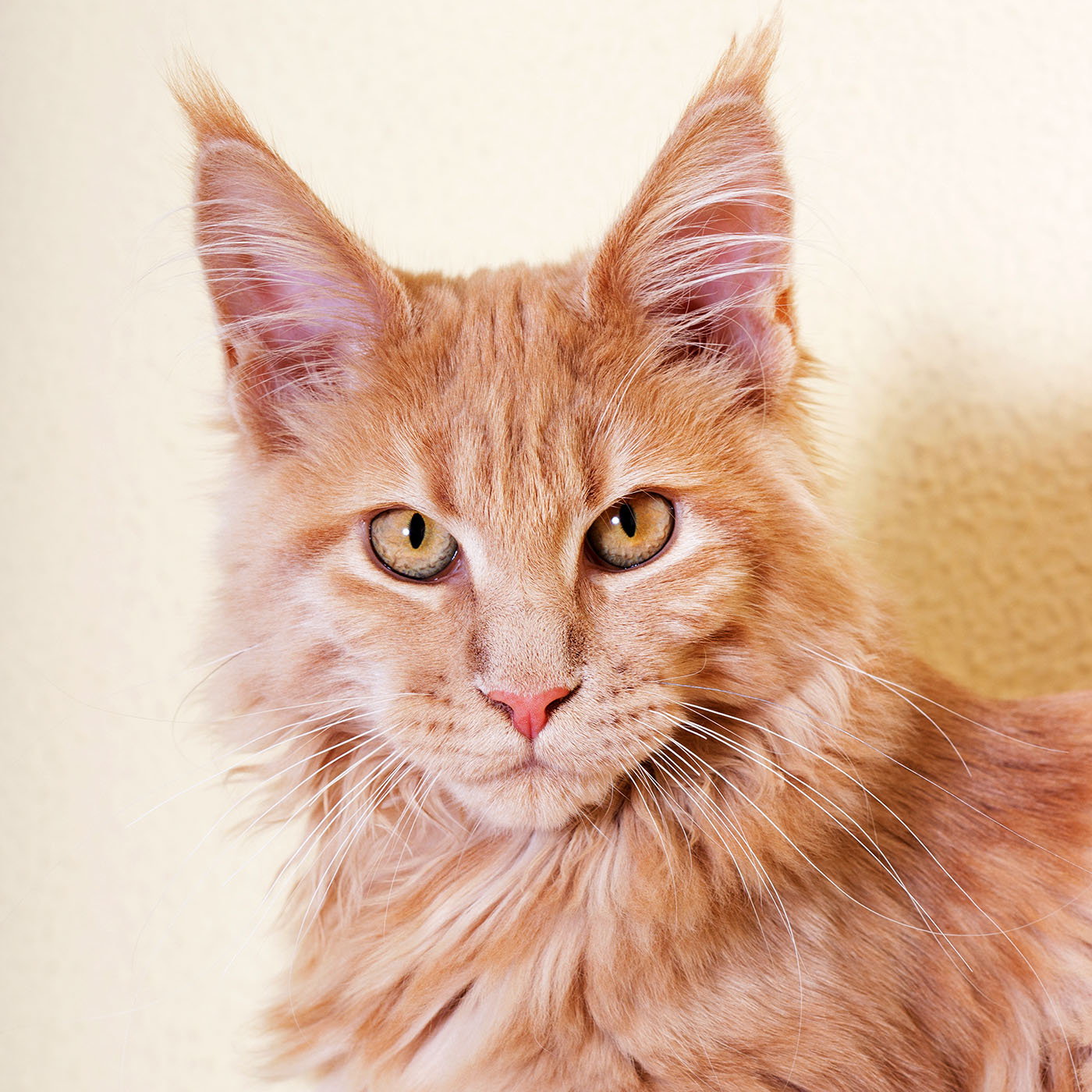 orange maine coon cat