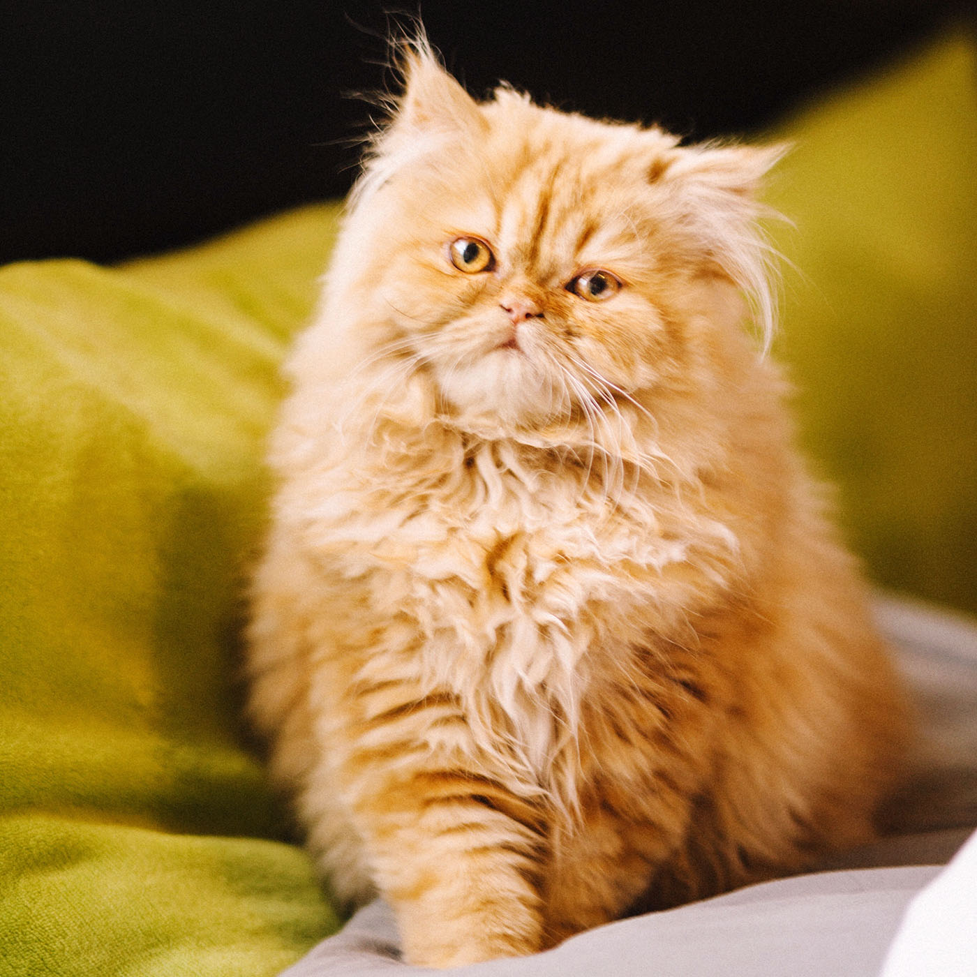 orange persian cat