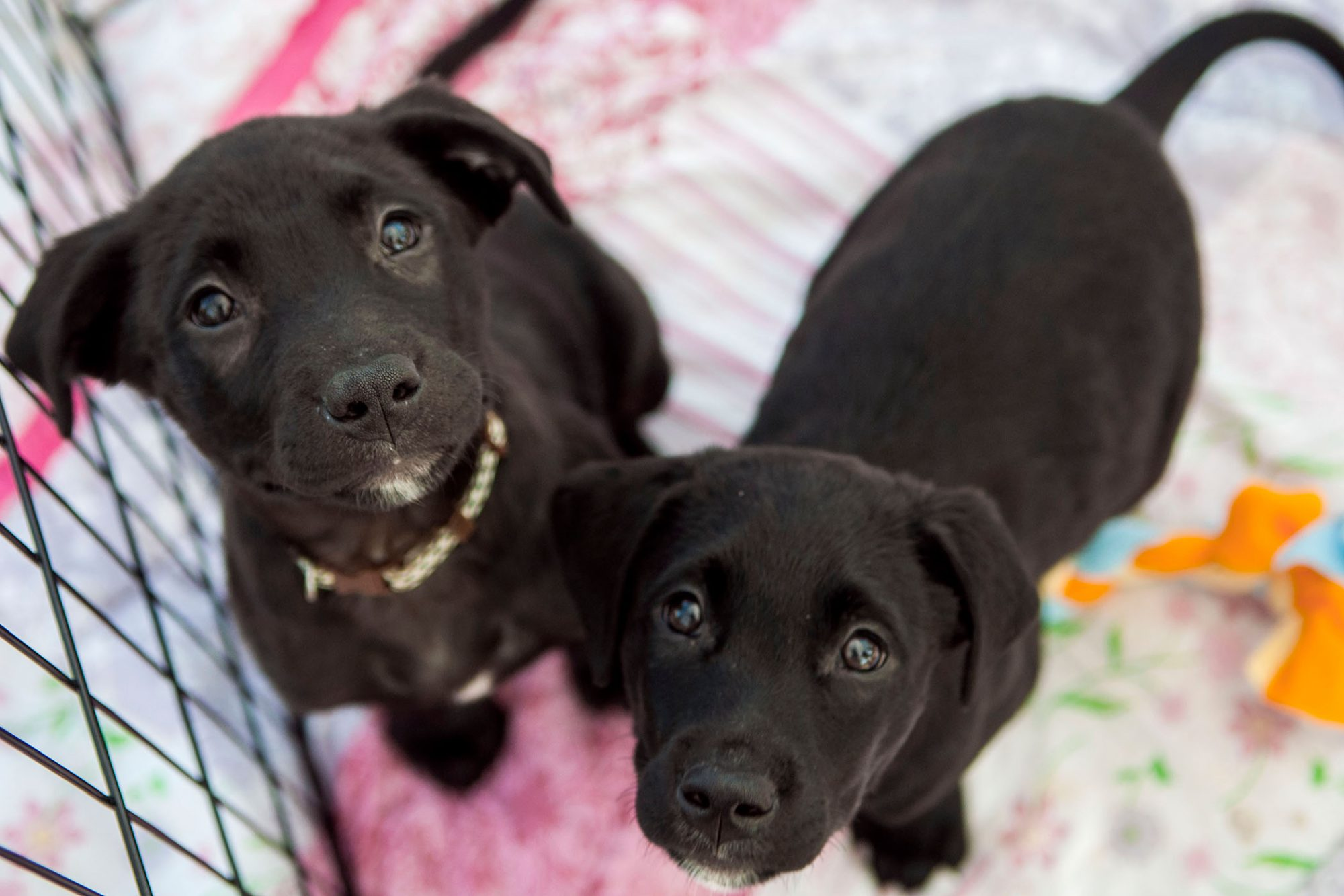 two black puppies in pen
