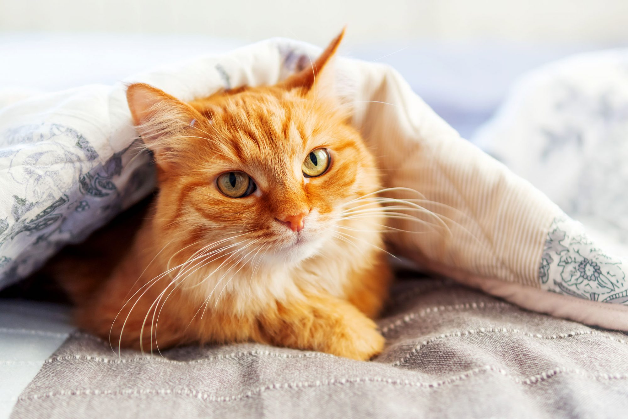 orange cat snuggled under blankets