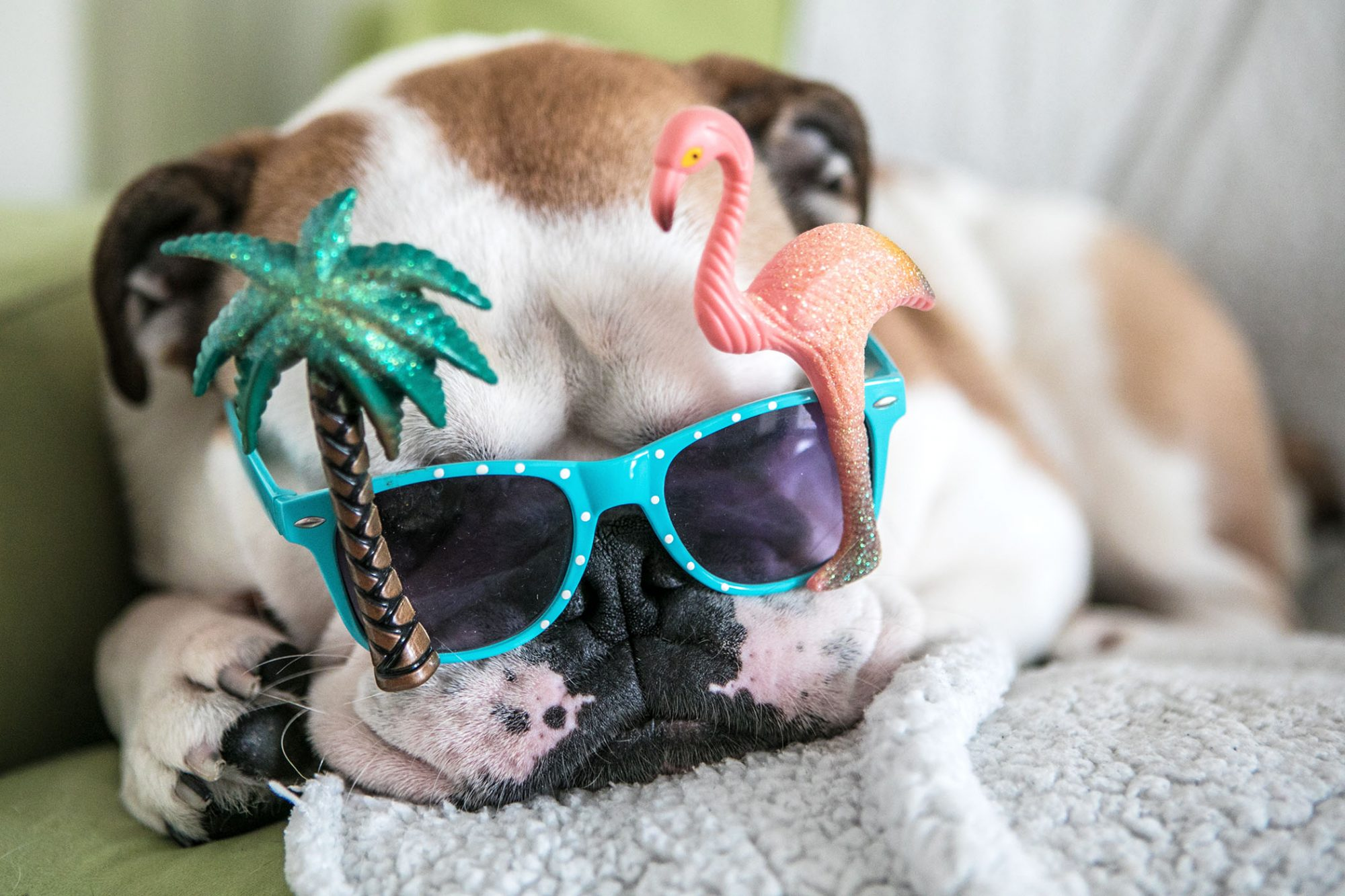 bulldog wearing sunglasses