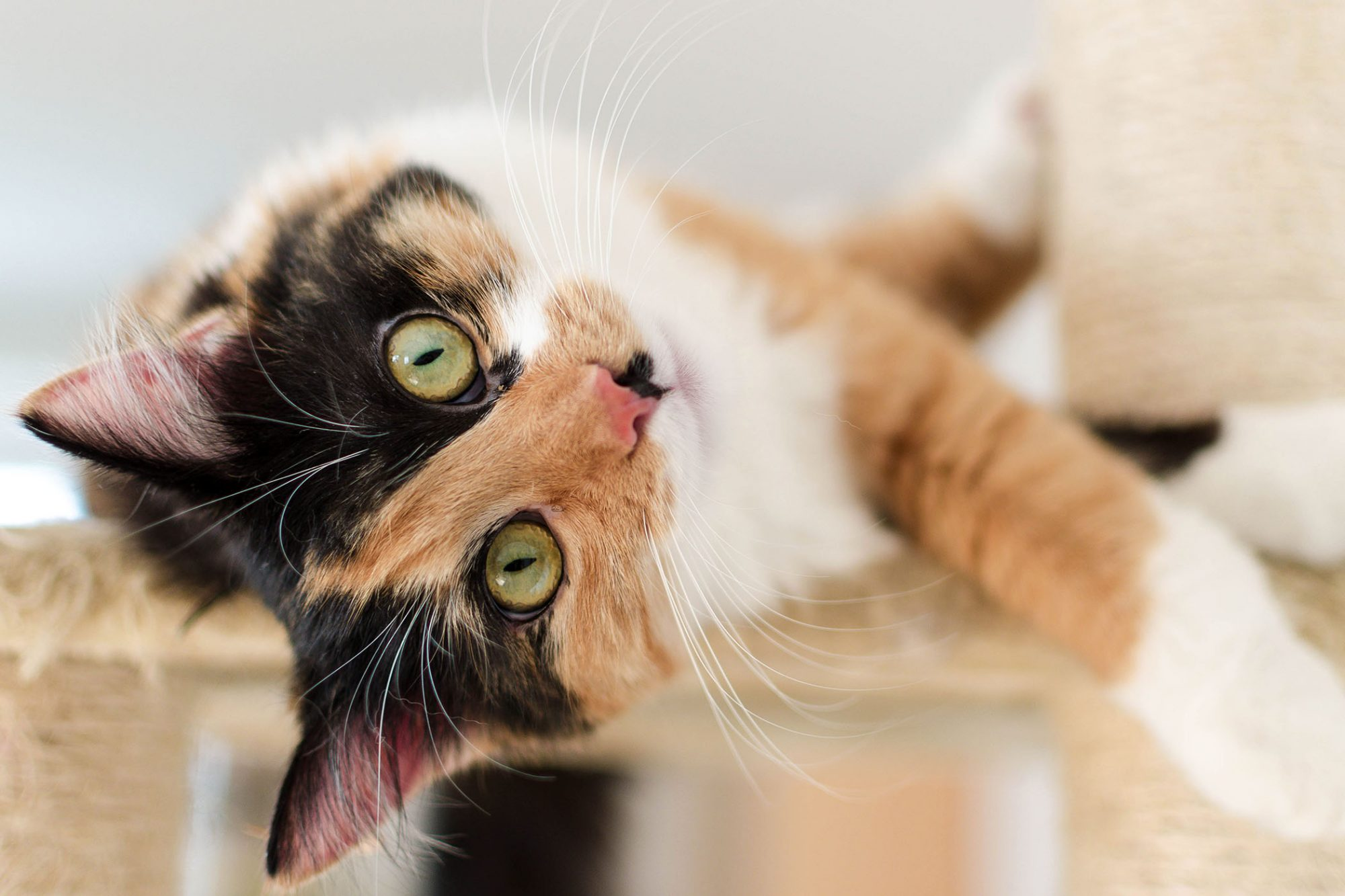 playful calico cat on cat tree