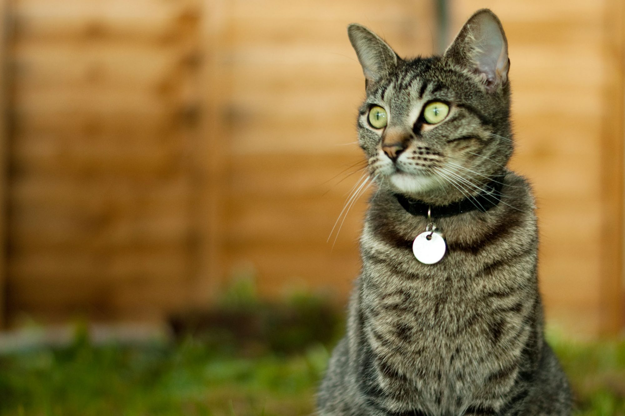 cat with collar and ID tags