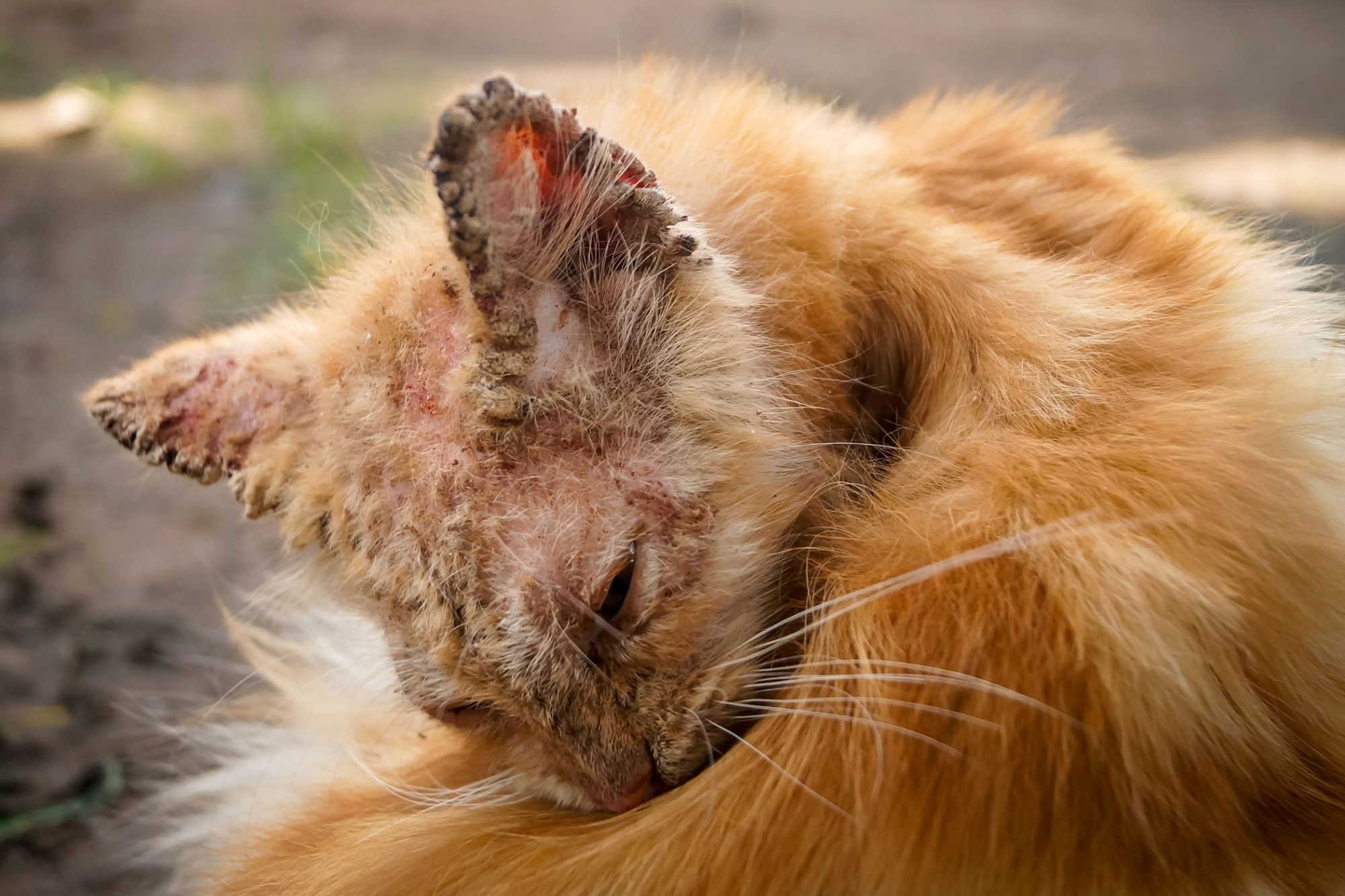 cat with signs of sarcoptic mange infection on ears
