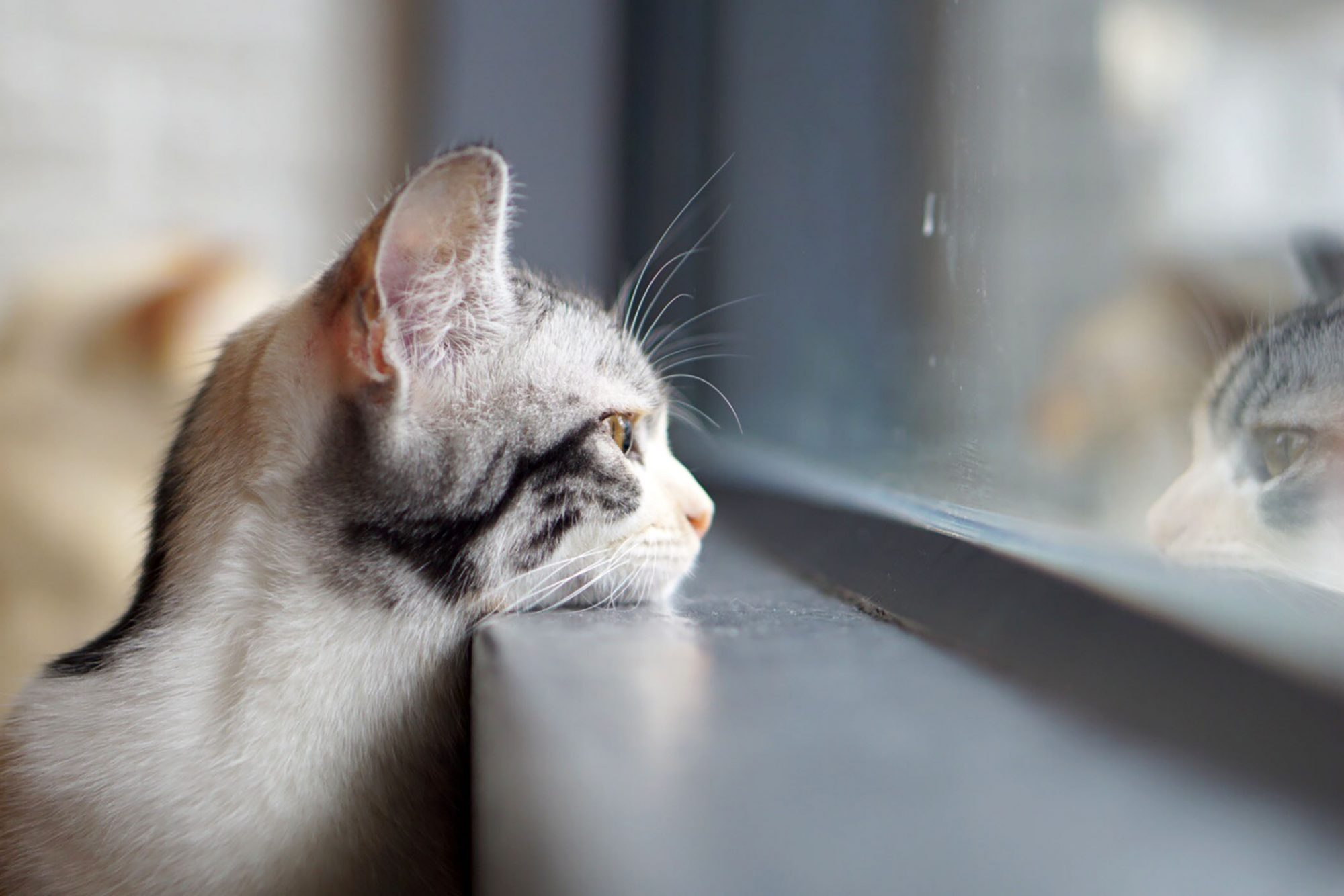 cat resting head on window sill looking outside