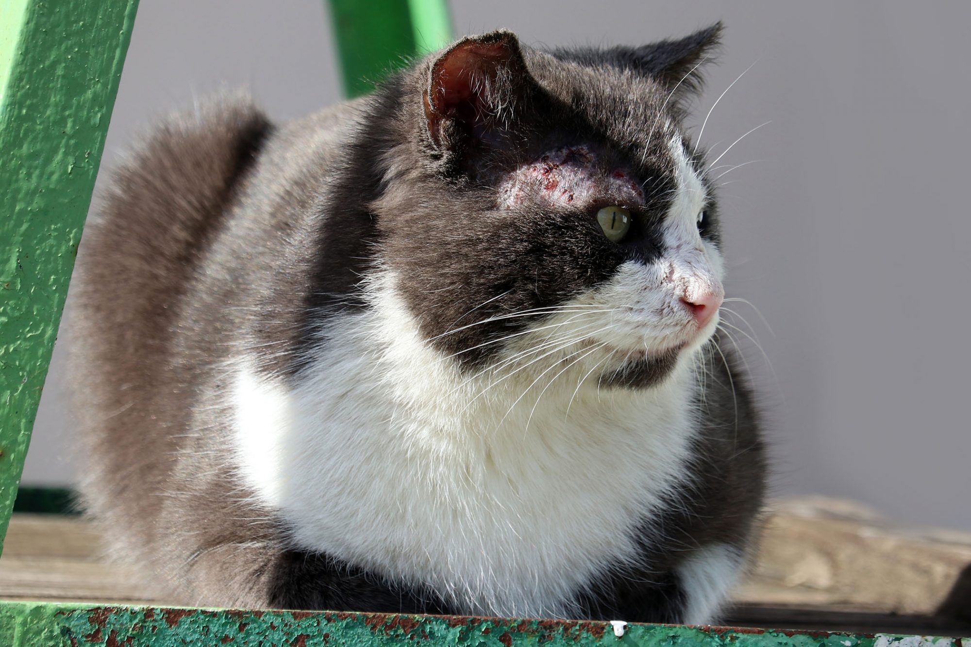 Mange In Cats Causes Symptoms Treatment And Prevention Daily Paws