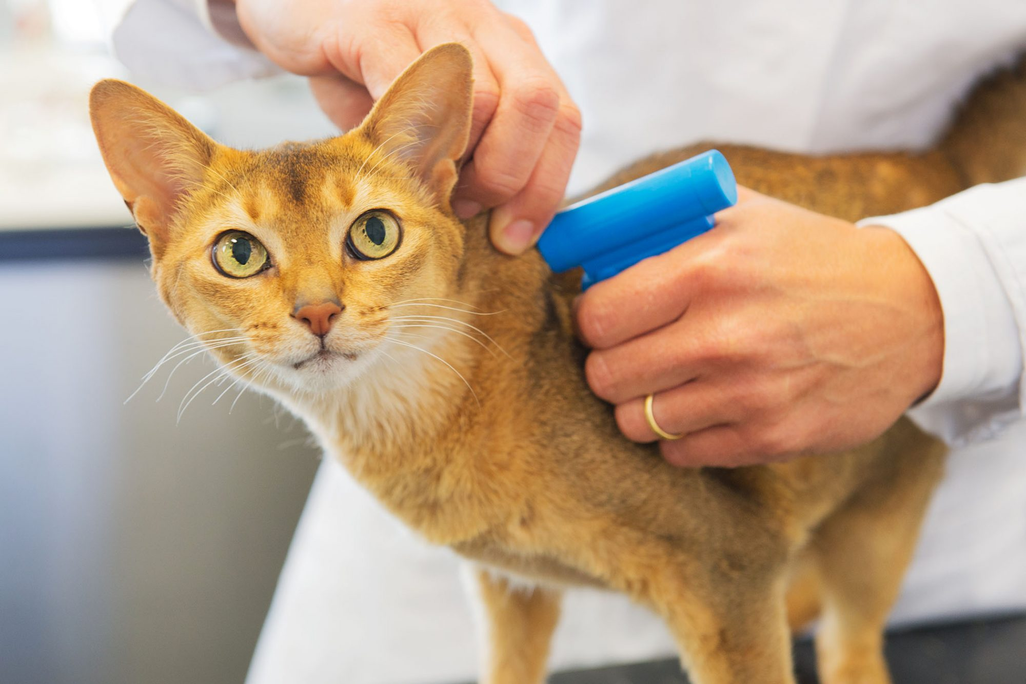veterinarian microchipping cat