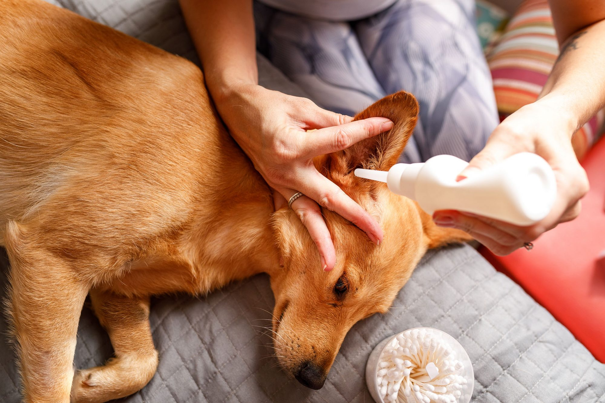 woman cleaning dog's ear