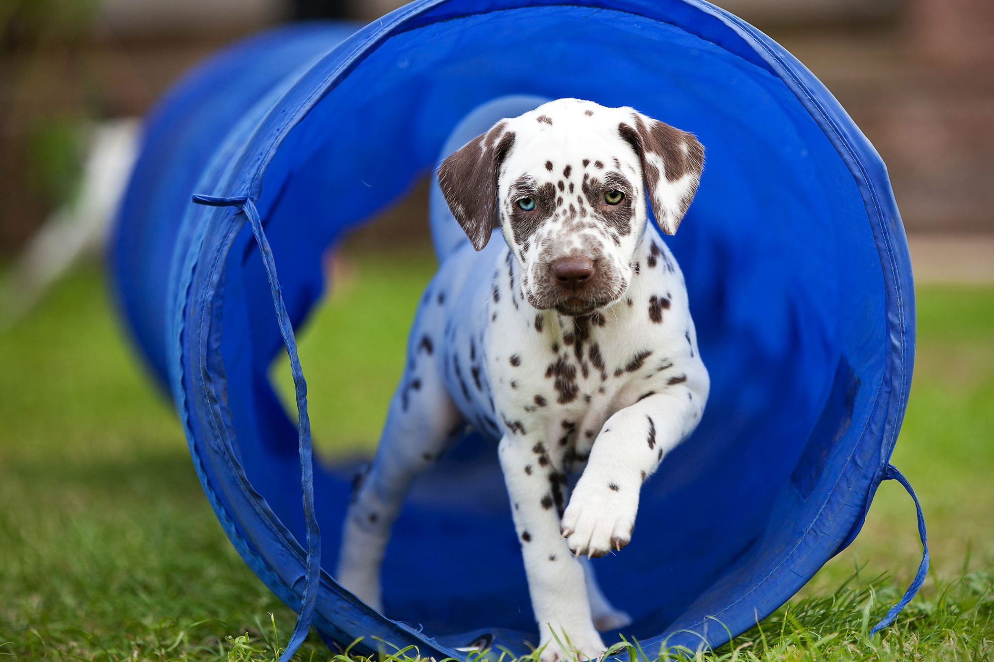dalmation puppy running through play tube