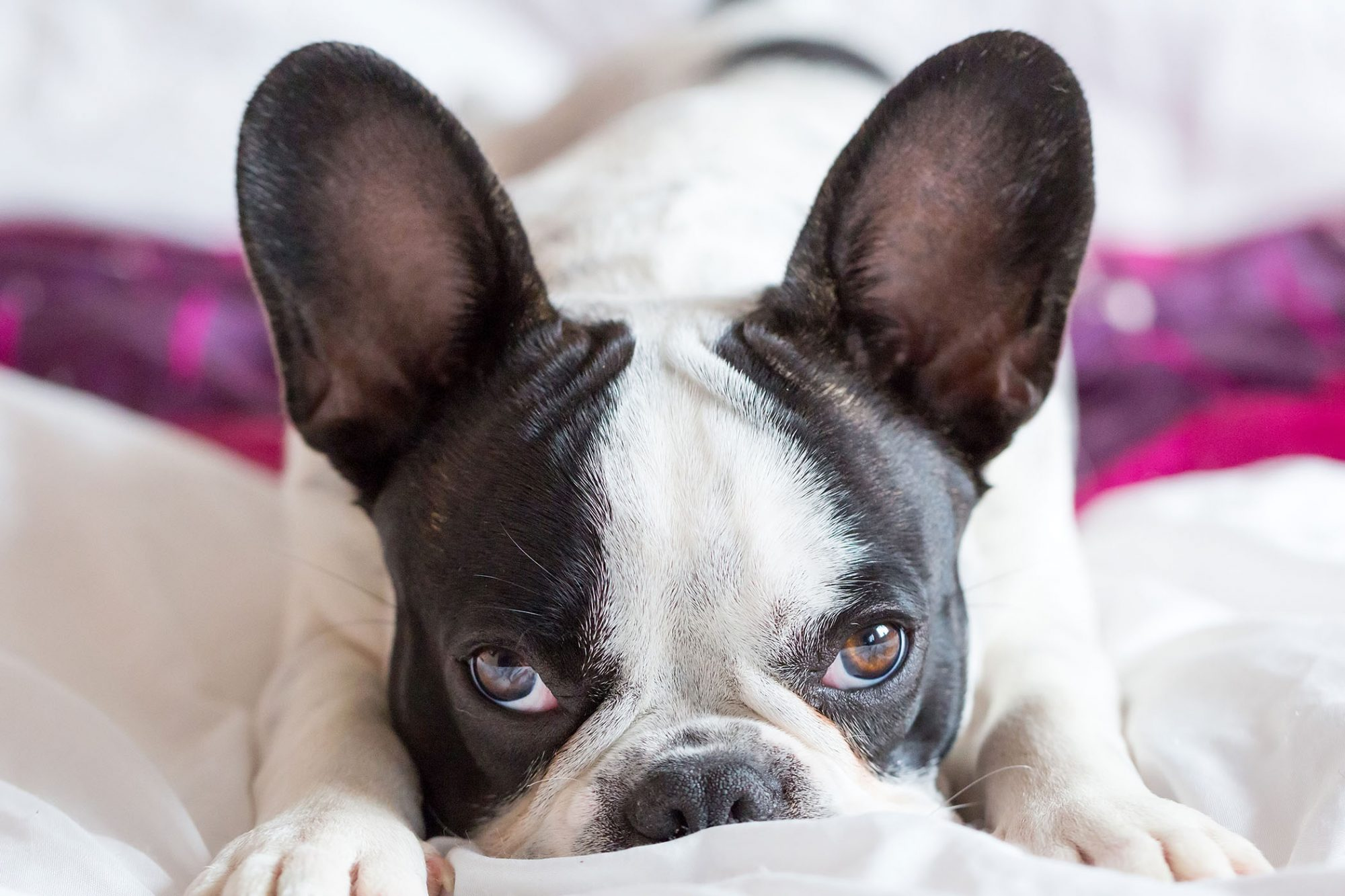 big ears of a french bulldog