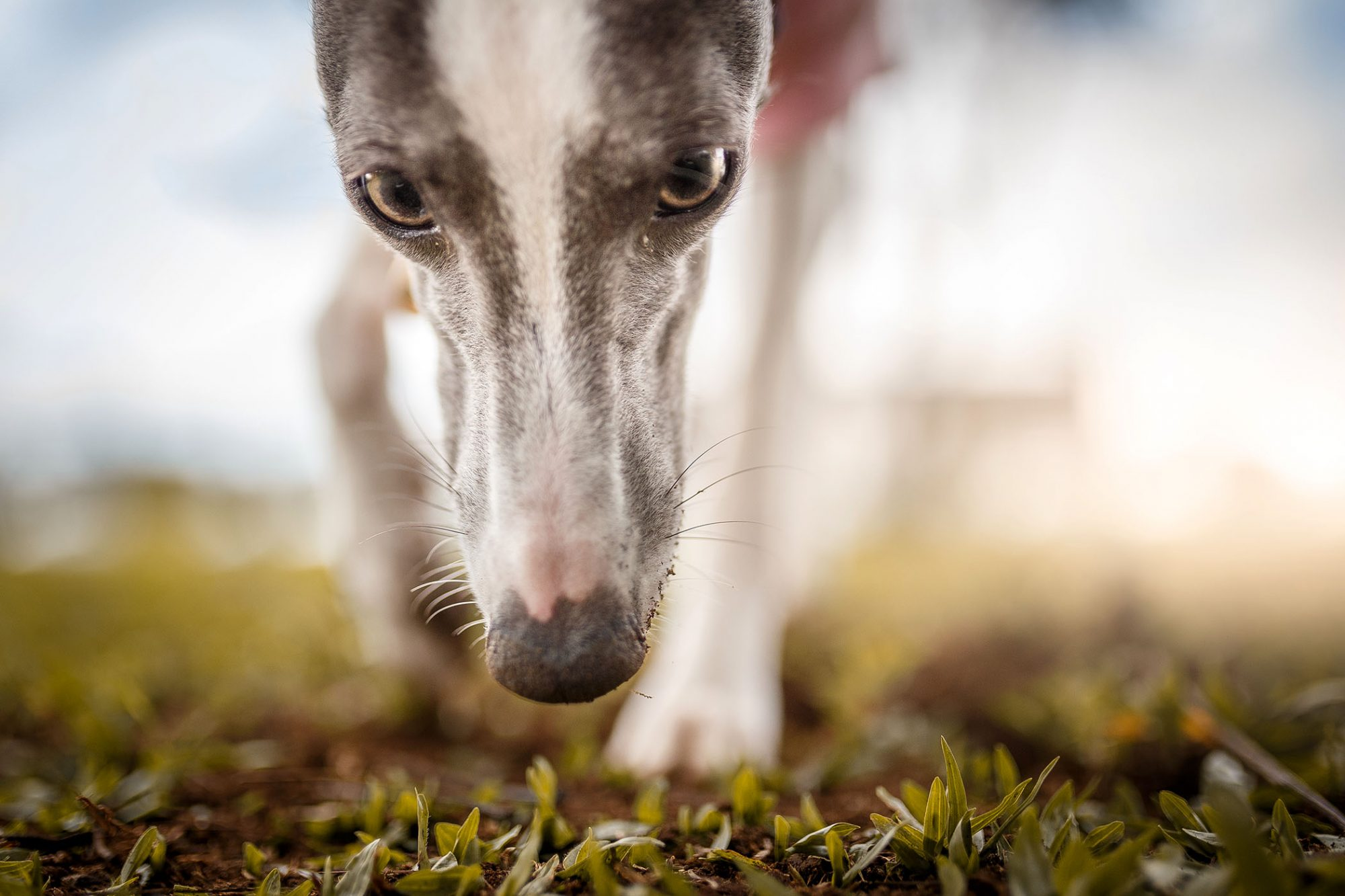 greyhound with long nose sniffing the ground