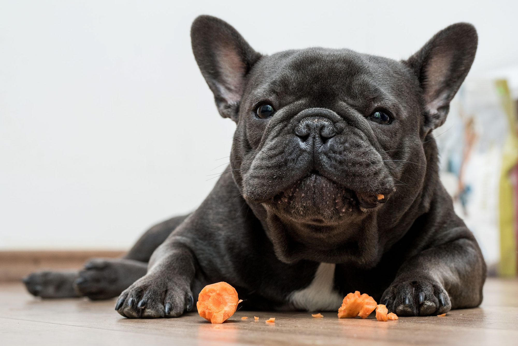 french bulldog eating a carrot