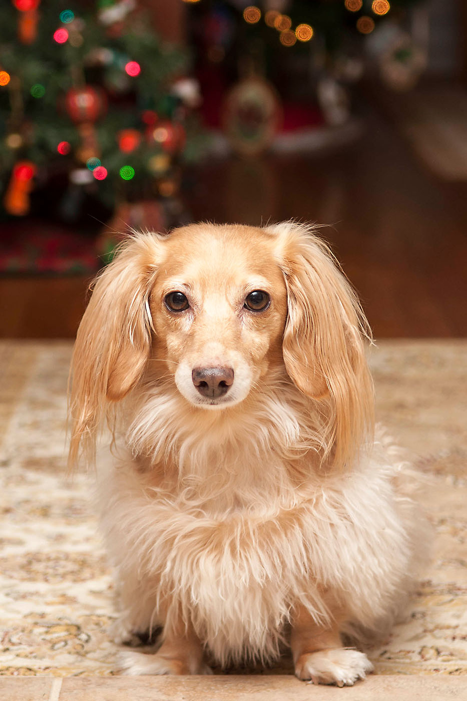 light-color, longhair dachshund