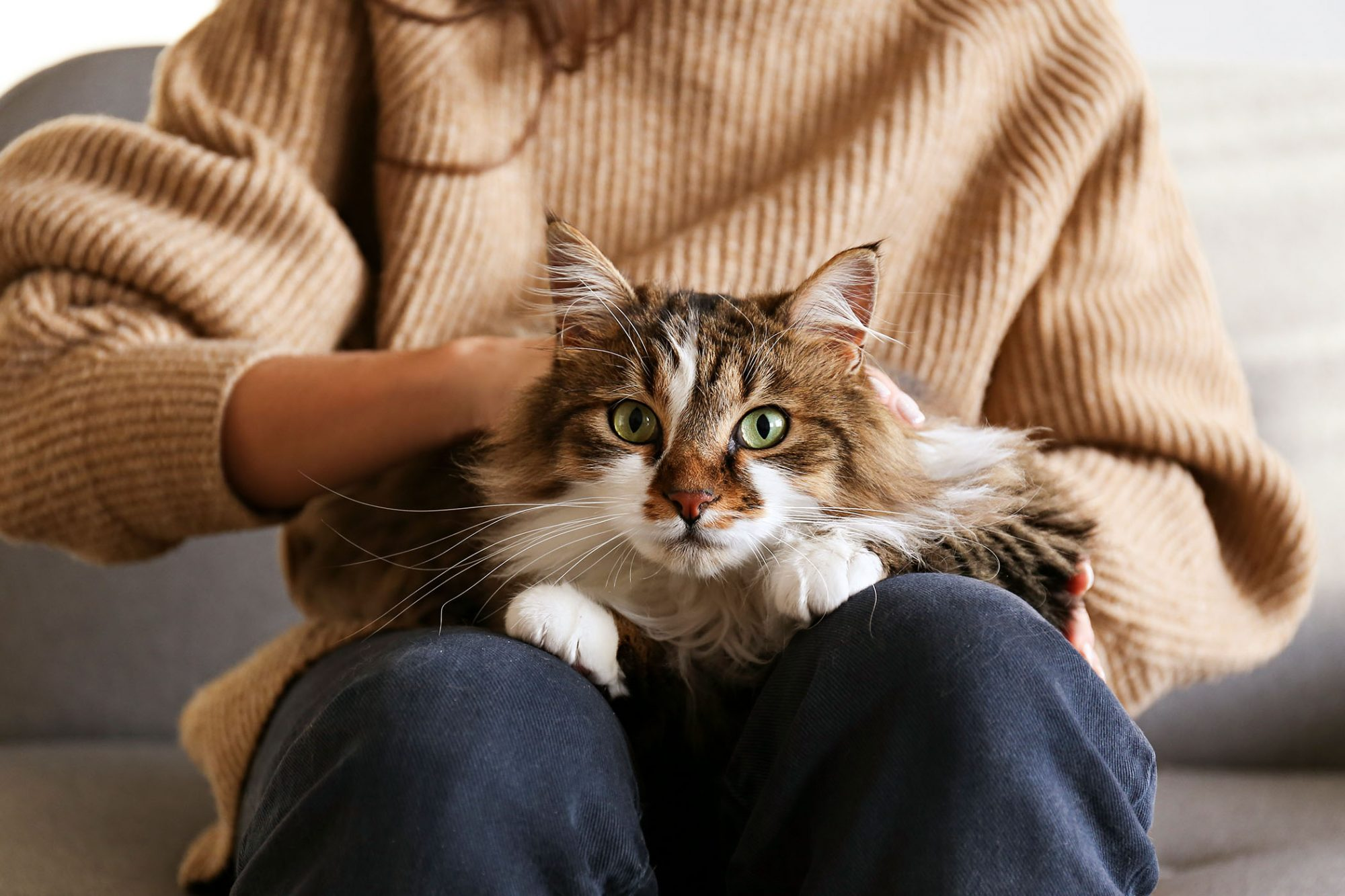 longhaired cat on woman's lap