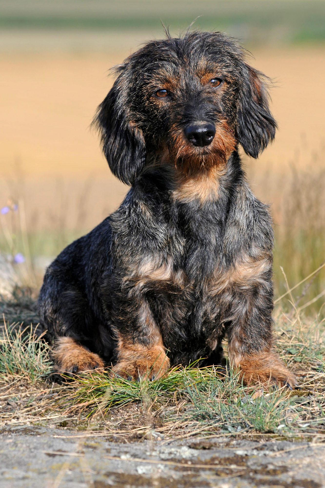 wirehair or rough dachshund