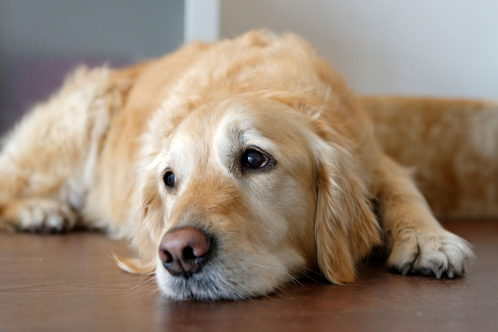 sade golden retriever lying on floor