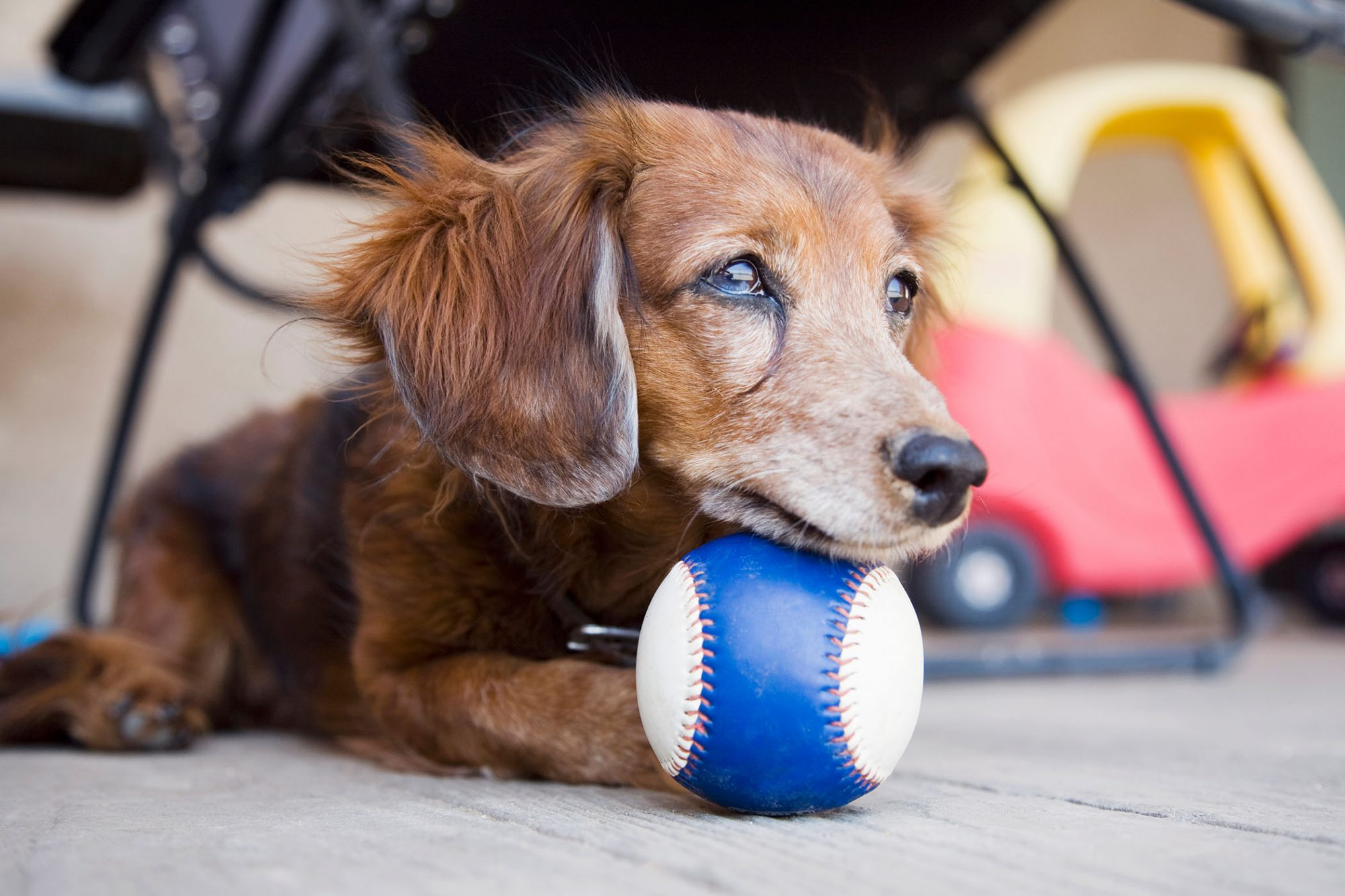 older dachshund lying on floor with ball