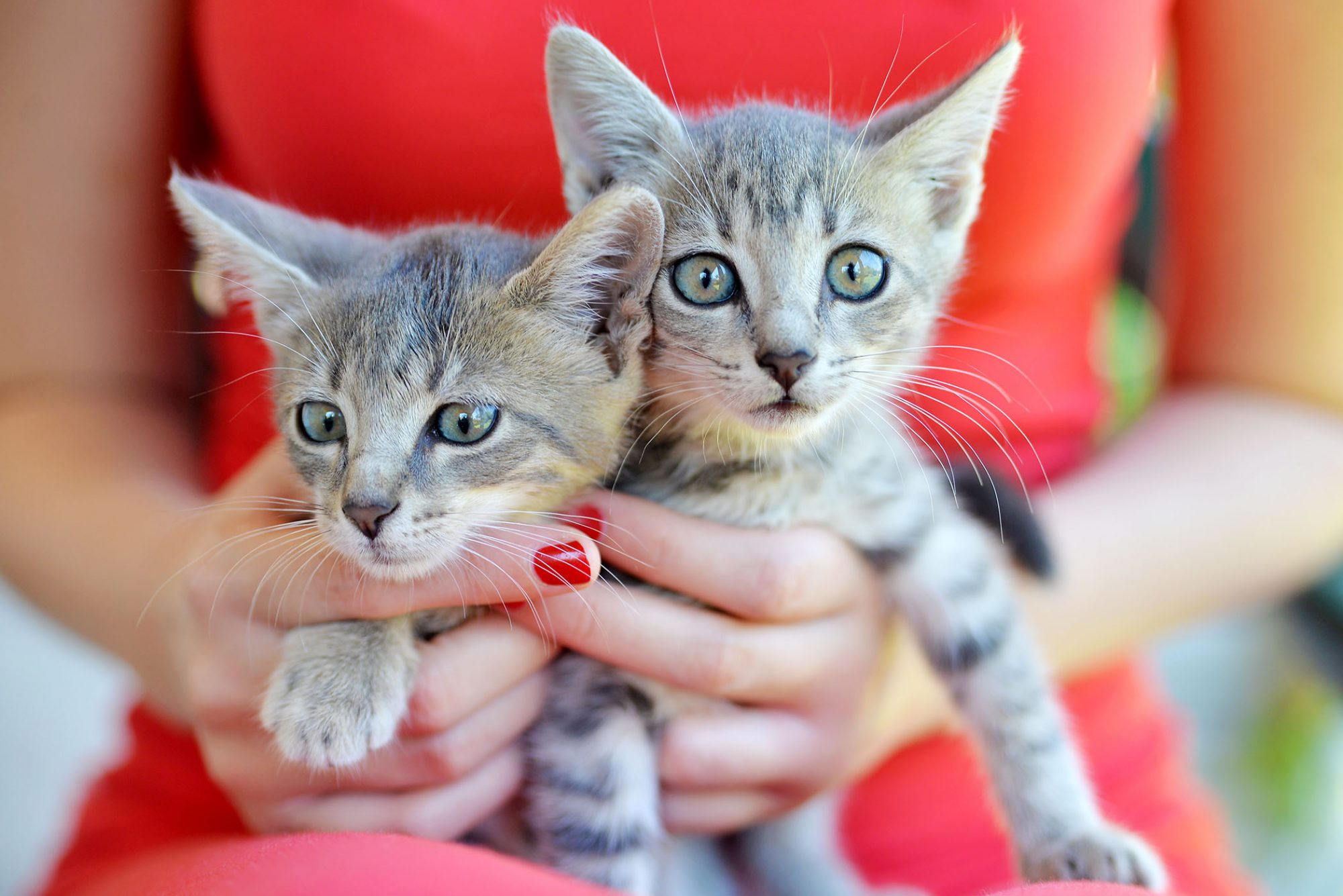 woman holding two small gray kittens