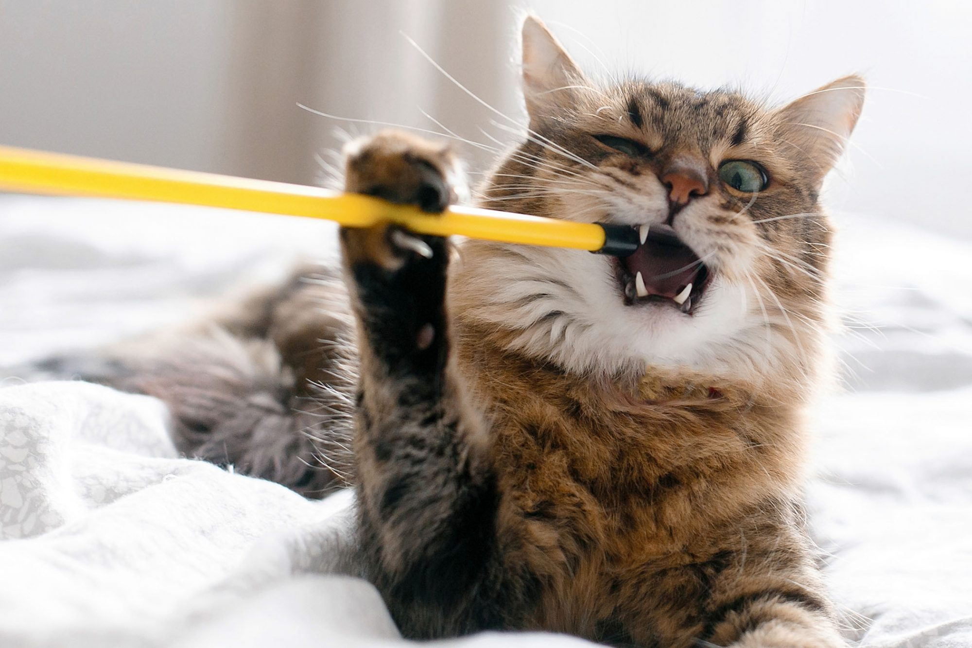 longhaired cat eating plastic stick