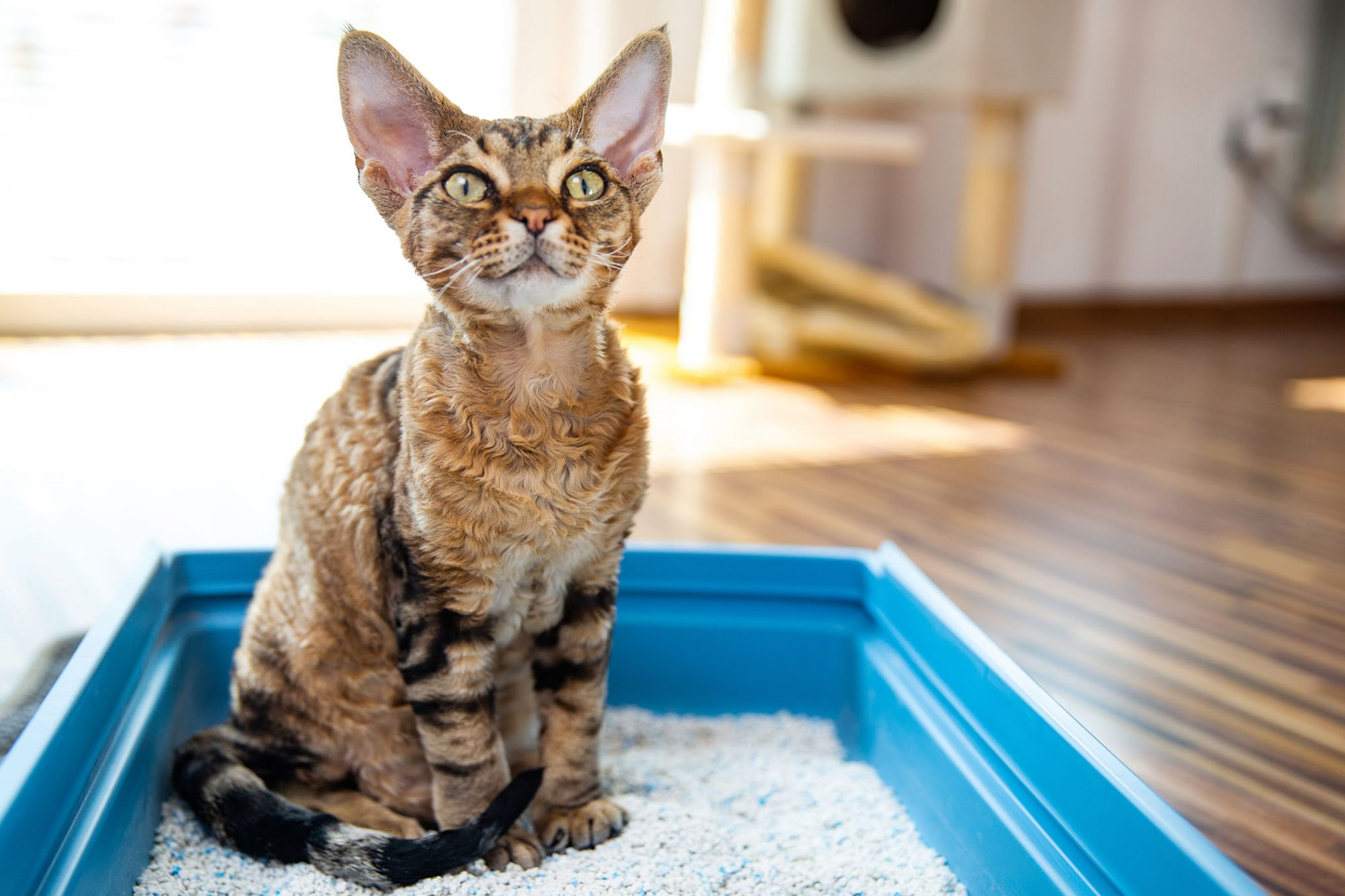 devon rex cat sitting in clean litter box