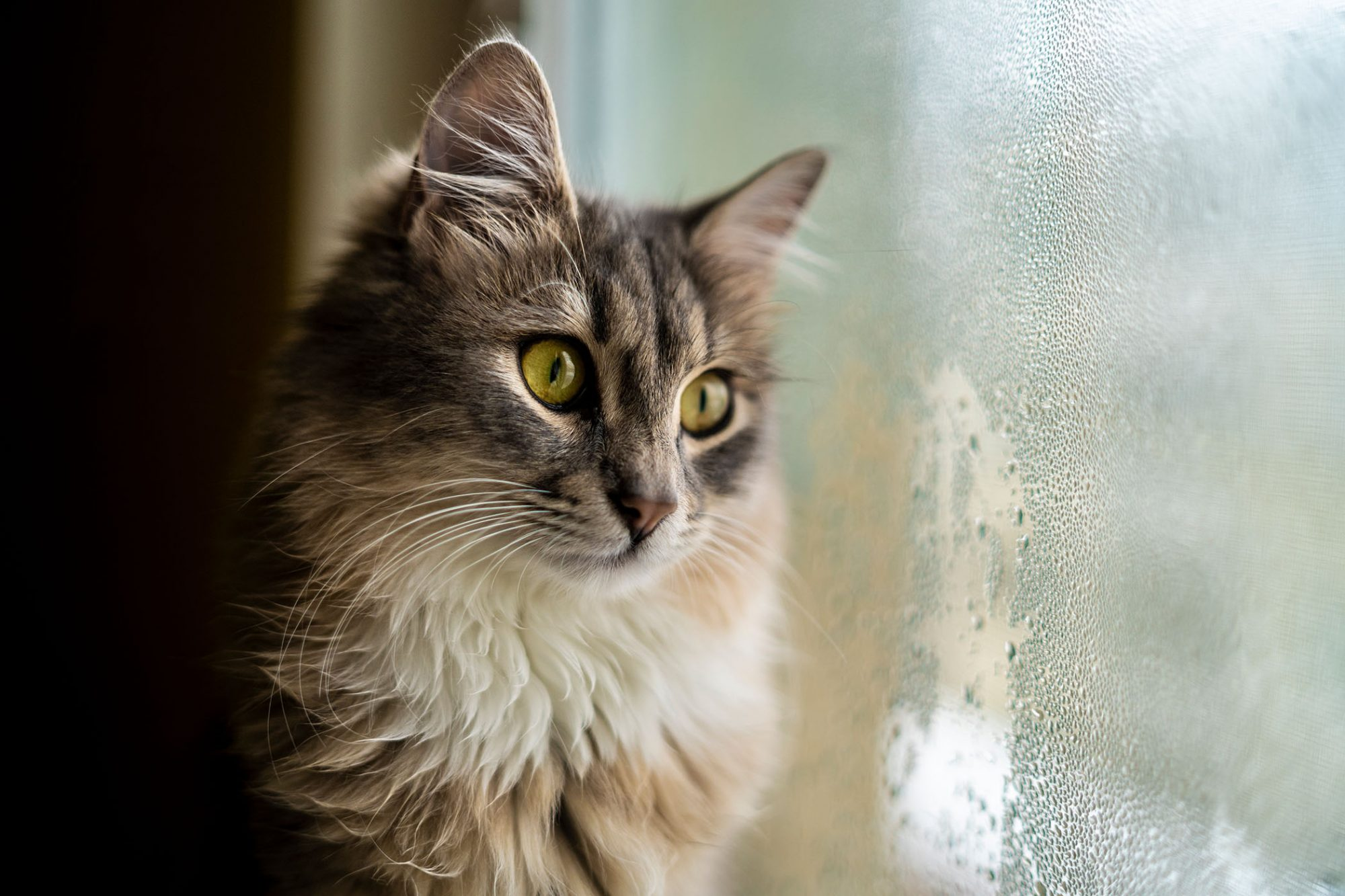 longhaired cat looking out the window