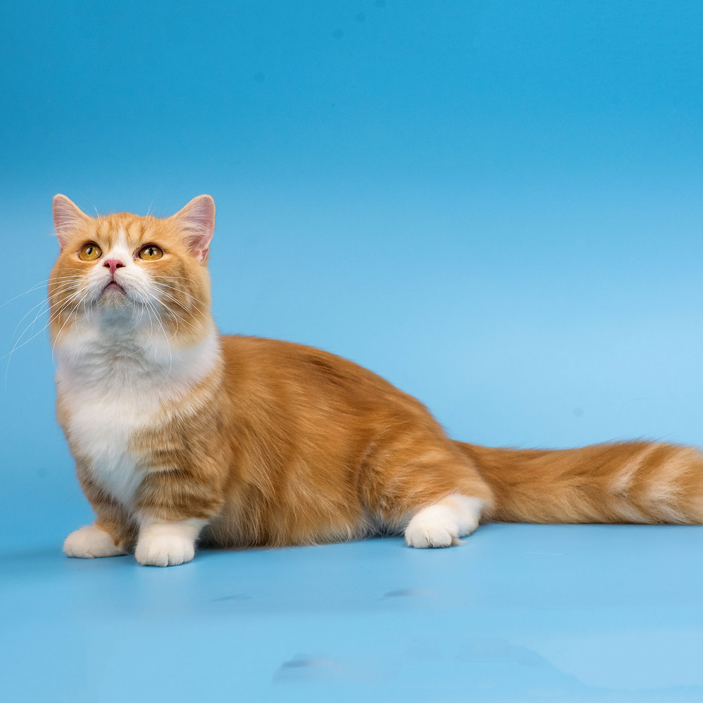 orange munchkin cat on blue background