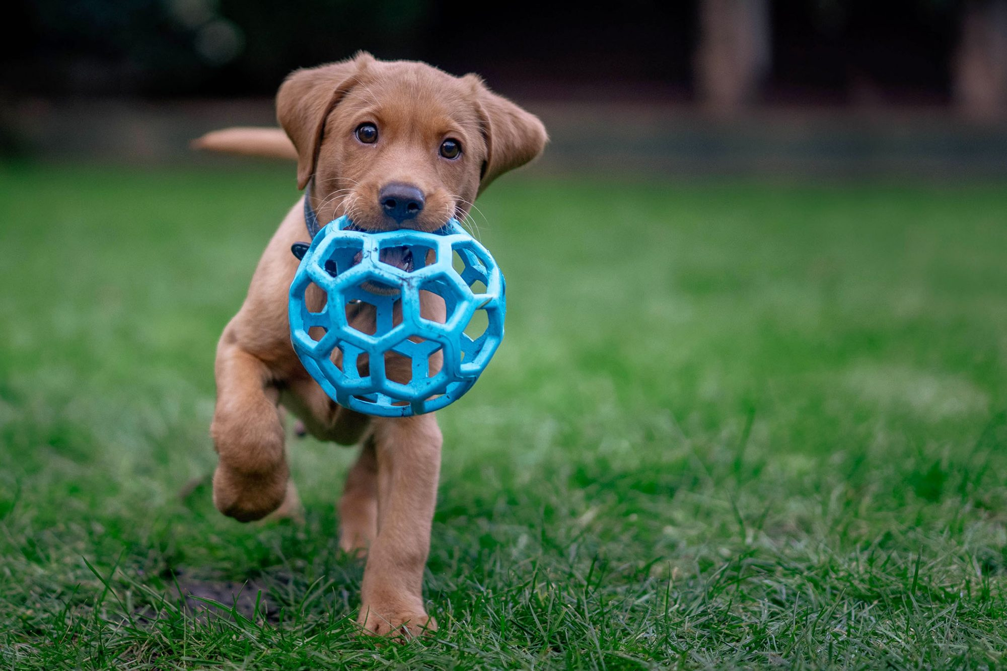 puppy playing with blue plastic ball outside