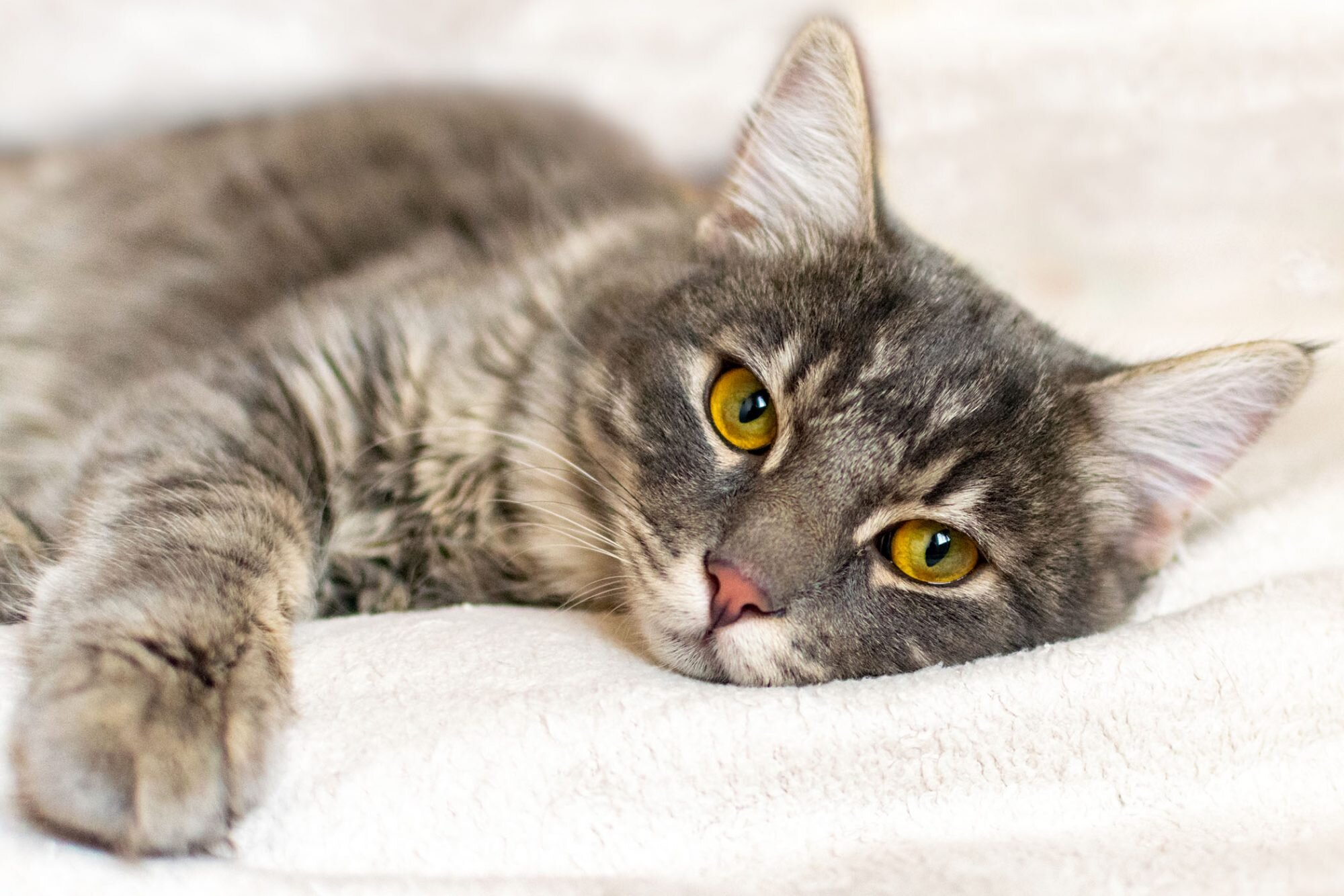 Roundworms In Cats Causes Symptoms Prevention And Treatment Daily Paws