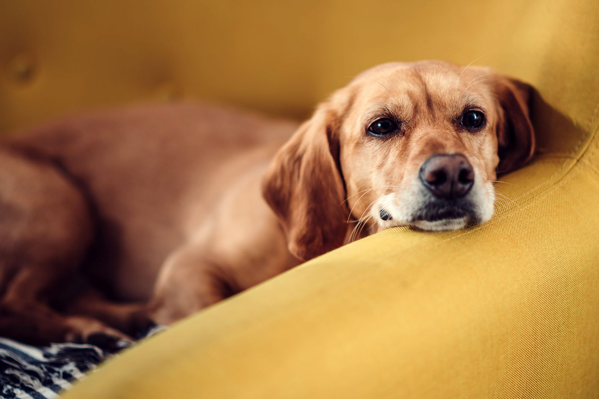 tired dog lying on yellow couch