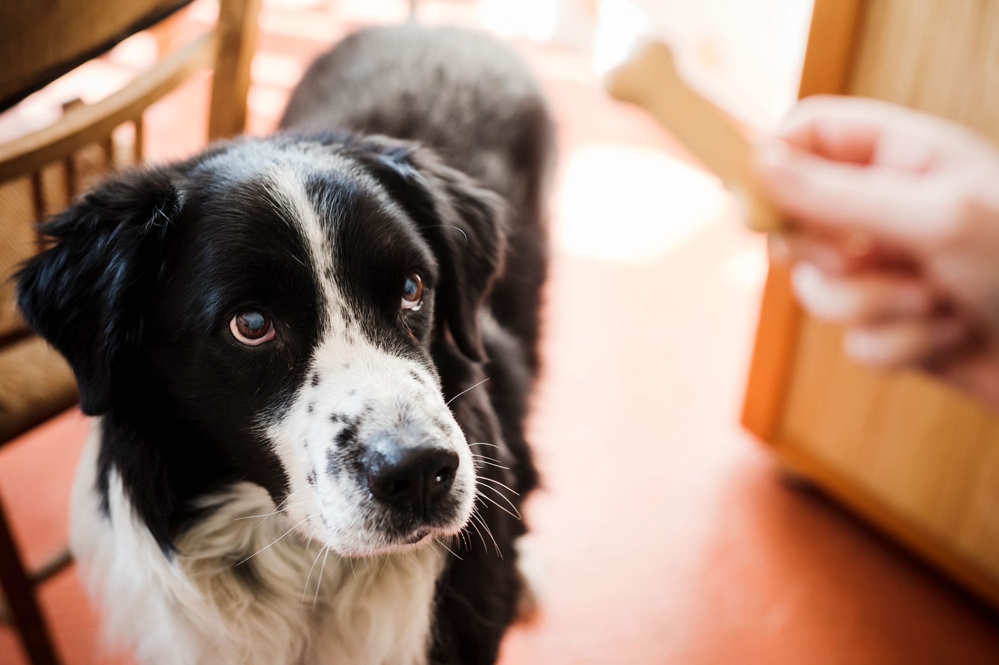 border collie waiting to get a treat