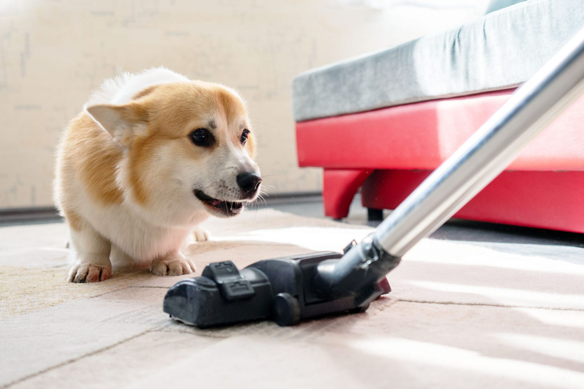 dog cowering from vacuum