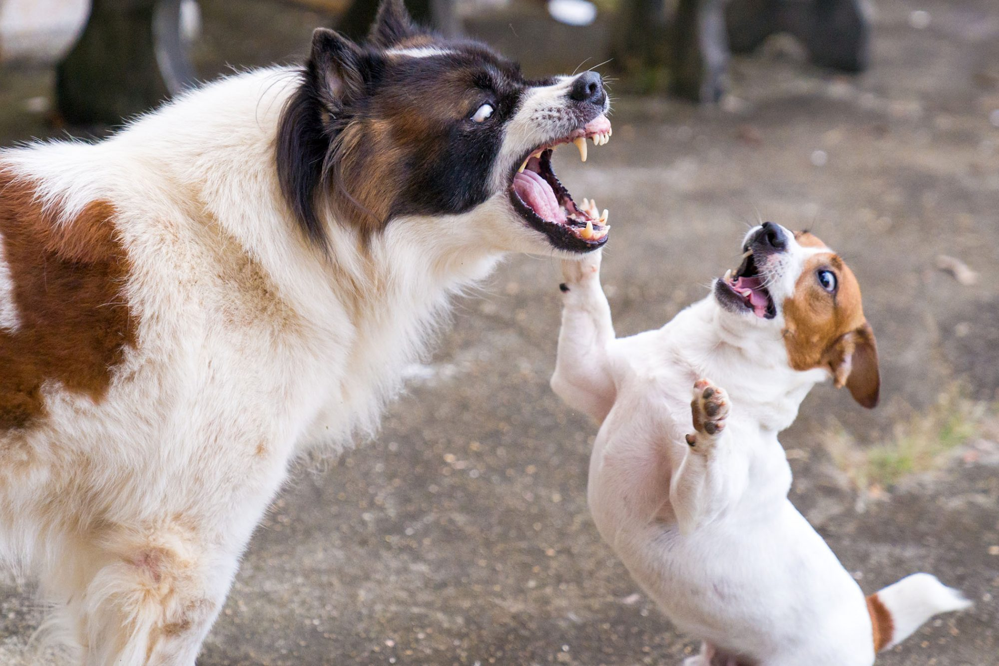 two dogs aggressively playing