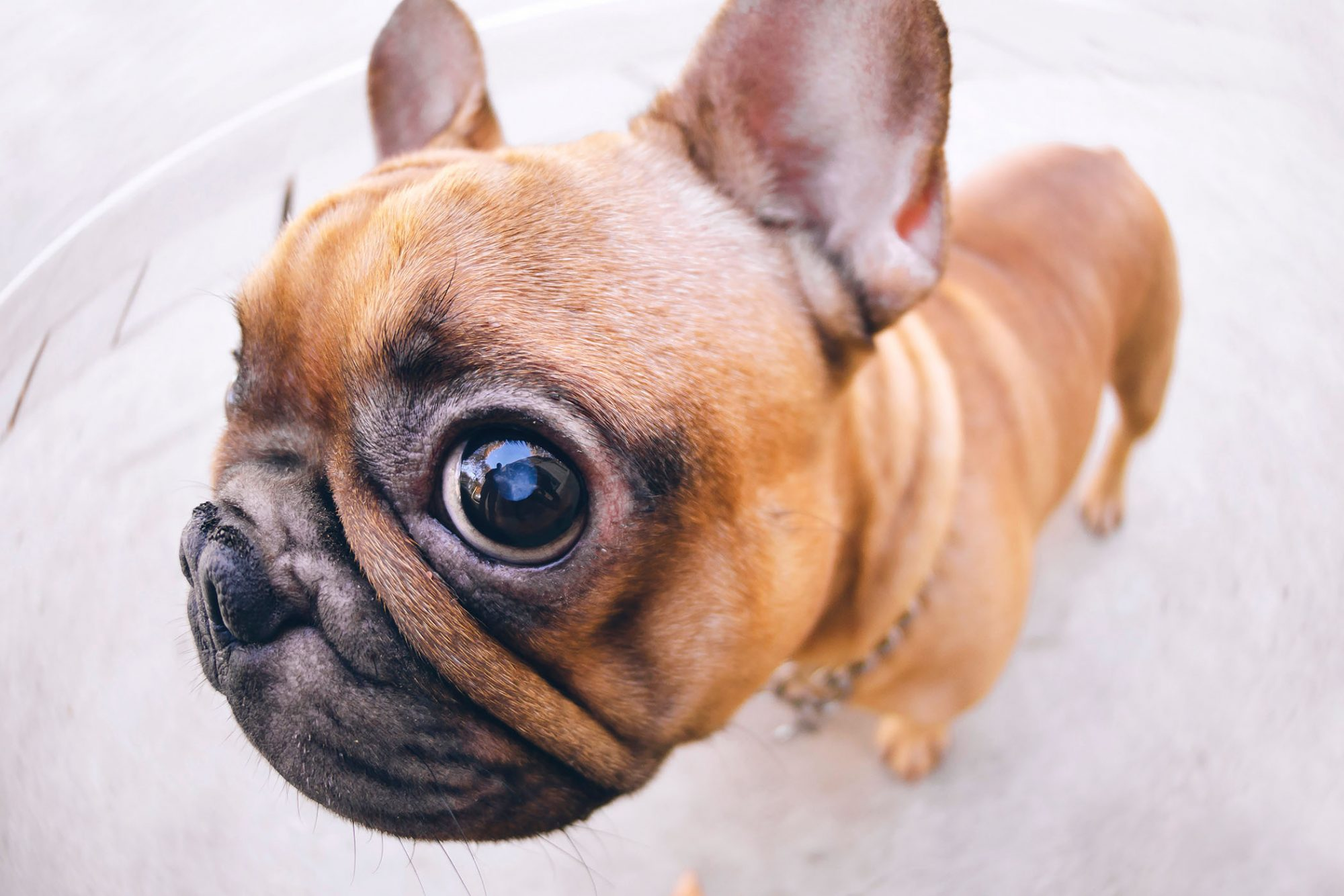 closeup photo of french bulldog with big eye