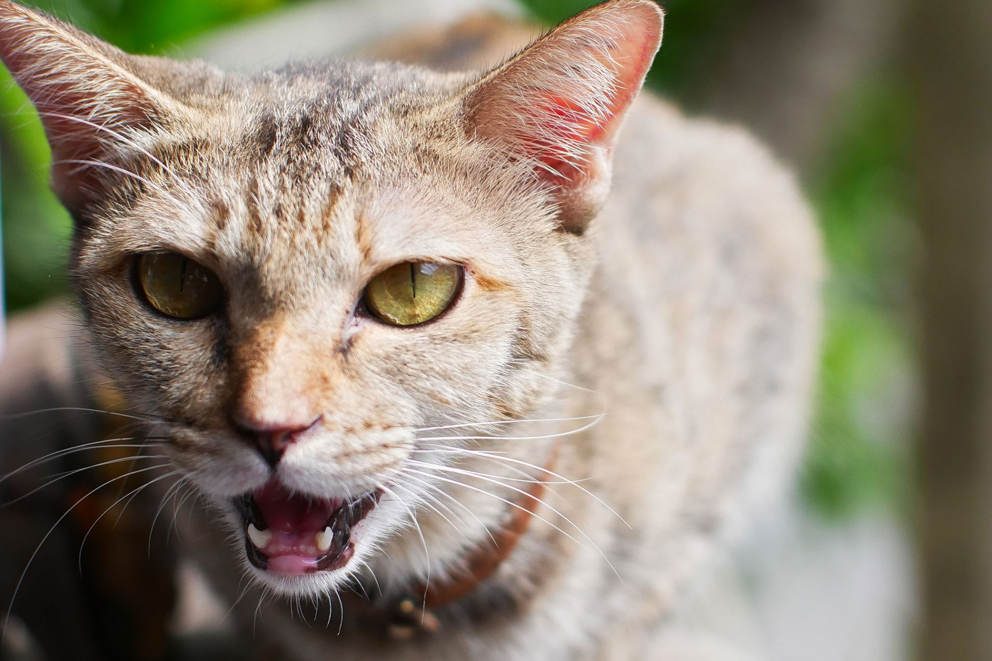 green-eyed cat hissing