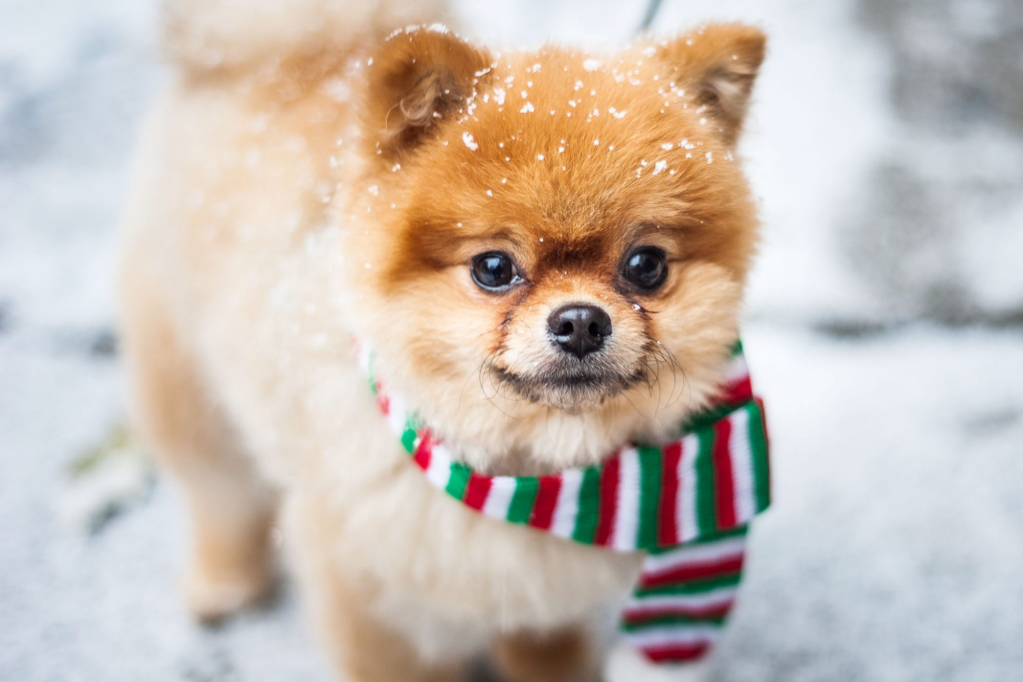 pomperanian pup with scarf in snow