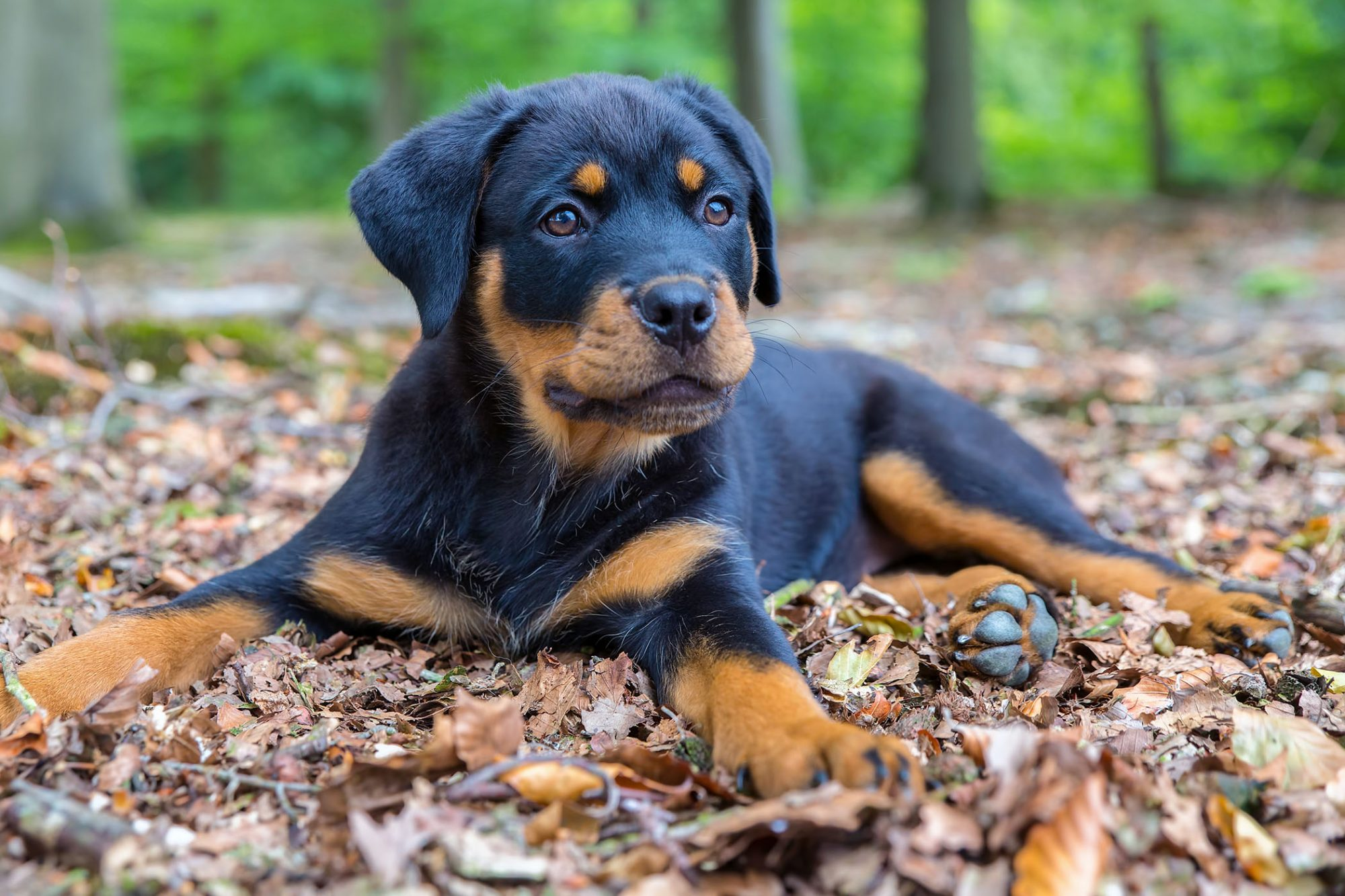 rottweiler puppy sitting in leaves