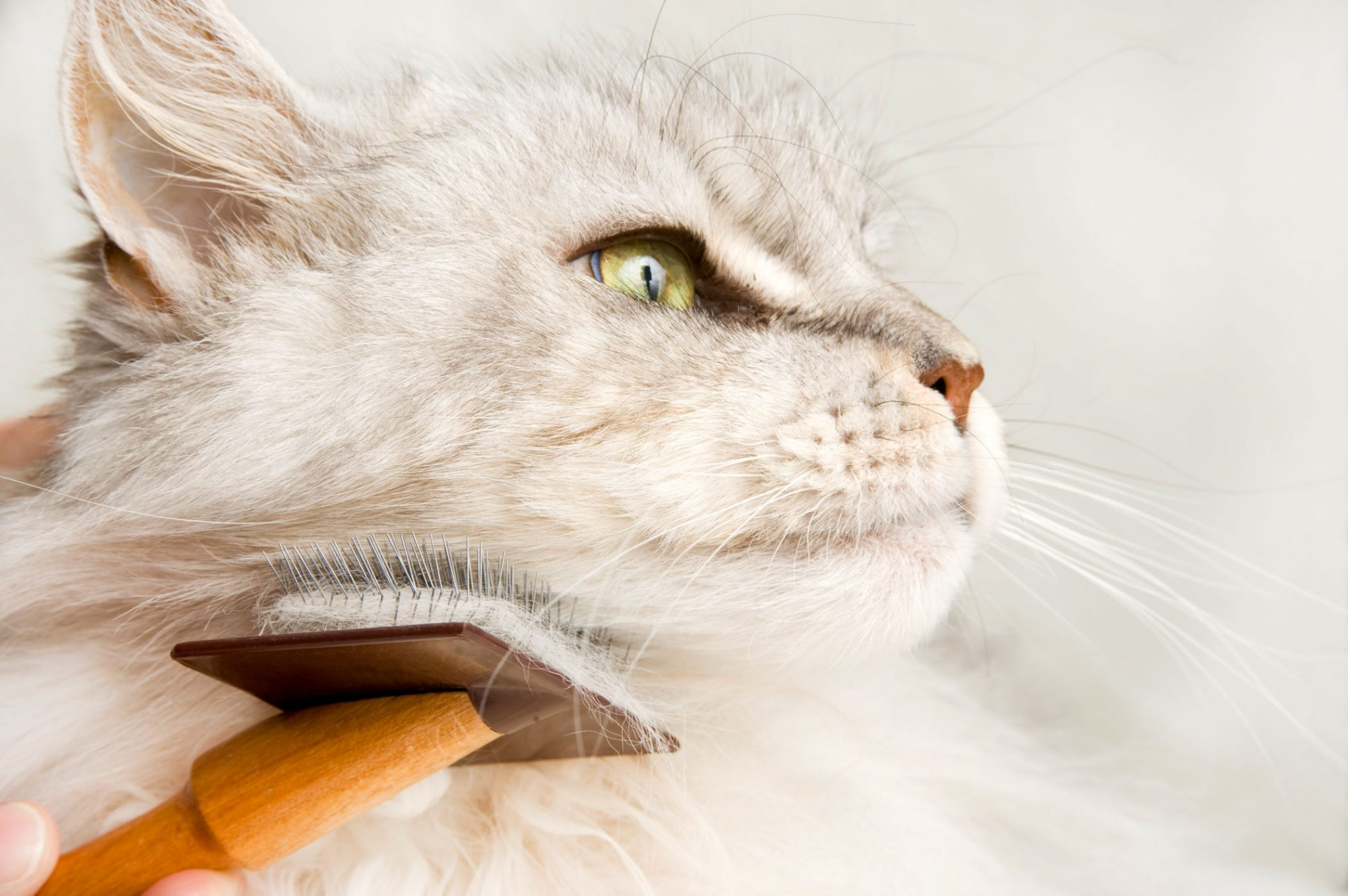 white Maine coon cat being brushed
