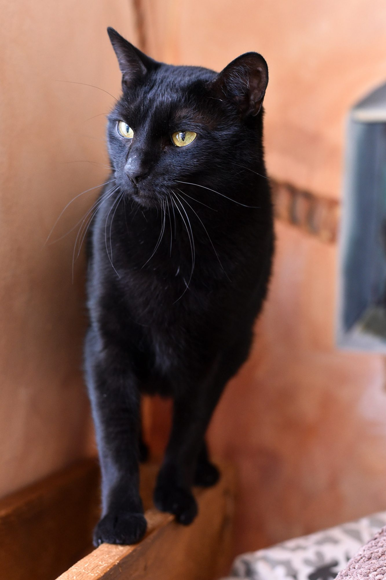 black american shorthair cat standing on boxes