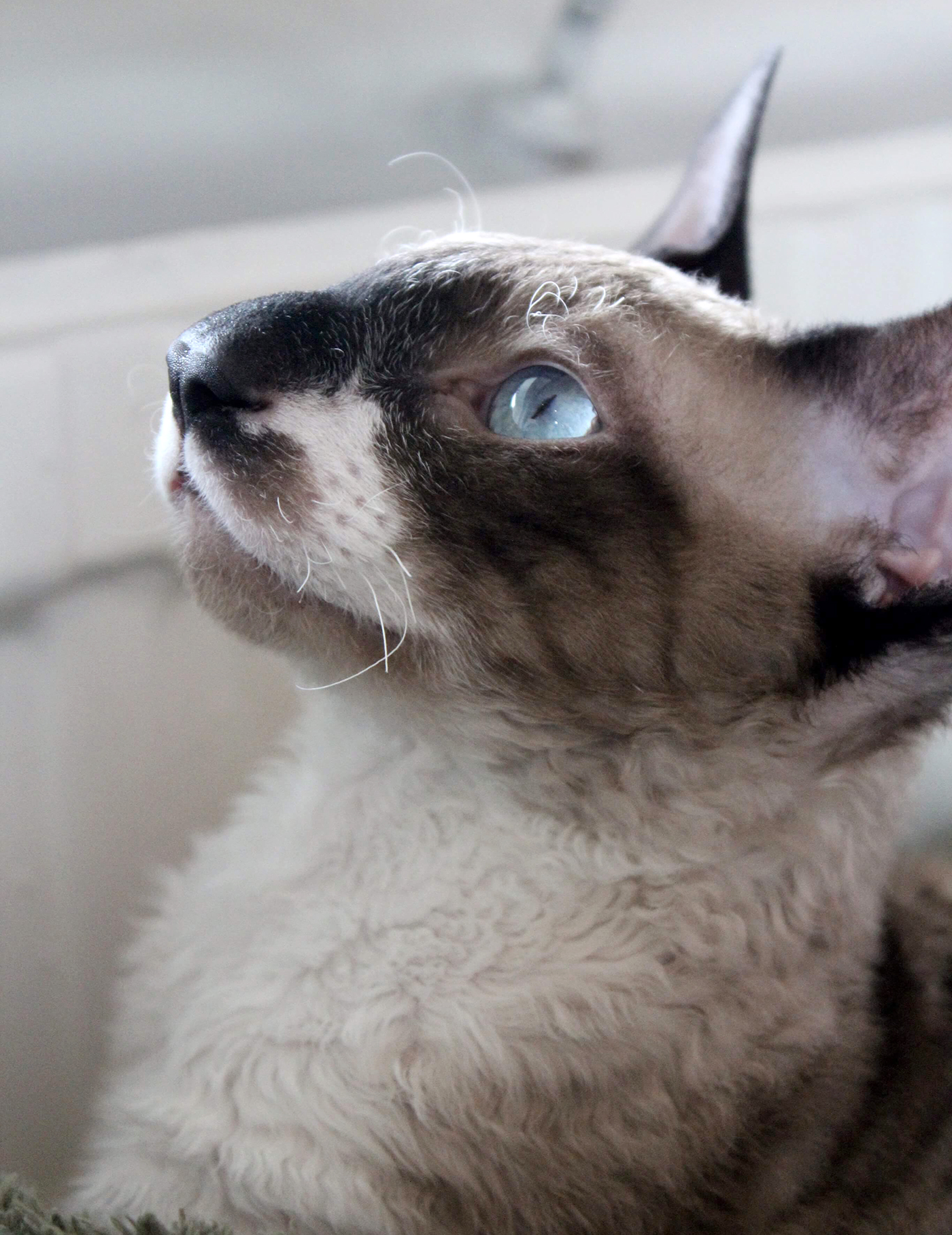 cornish rex cat profile looking out window
