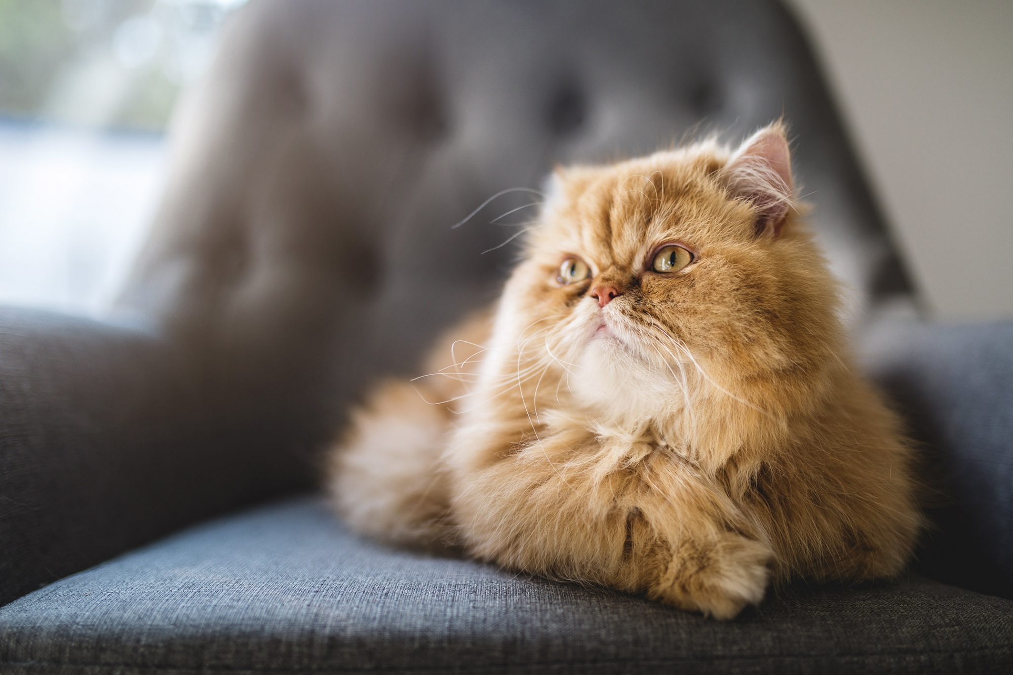 pretty orange persian cat sitting on gray chair