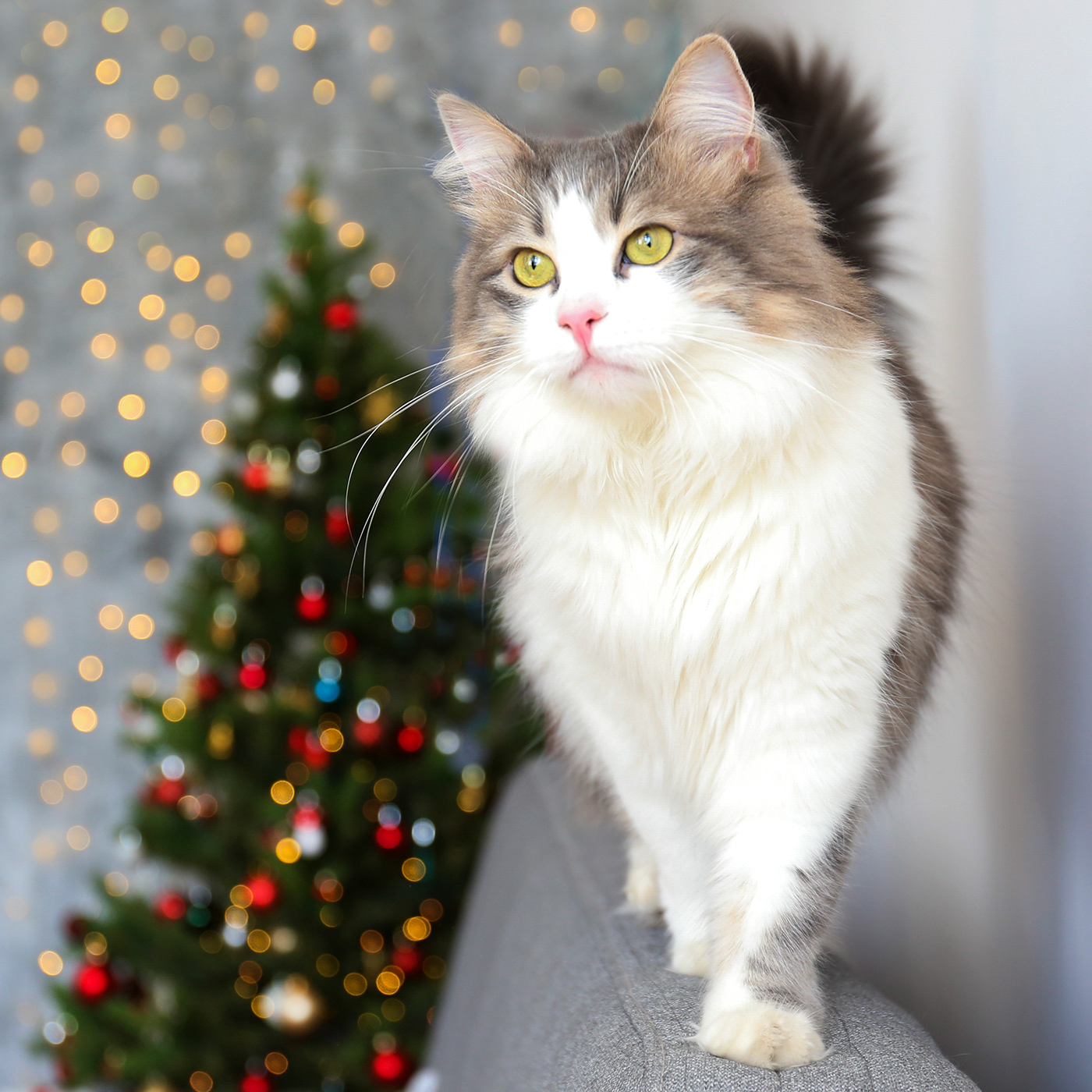 ragamuffin cat walking along back of couch with christmas tree in background