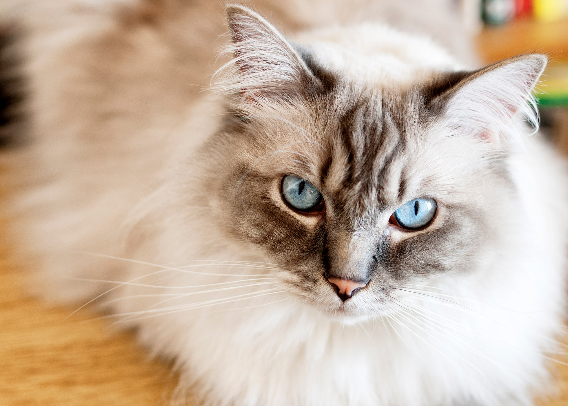ragdoll cat with blue eyes looking at camera