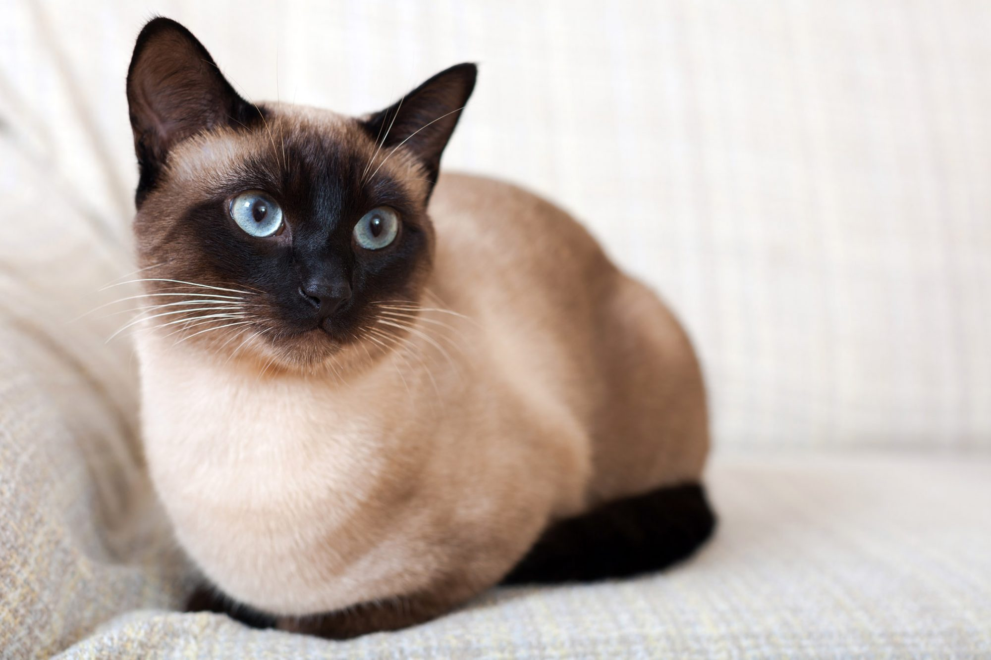 siamese cat sitting on couch